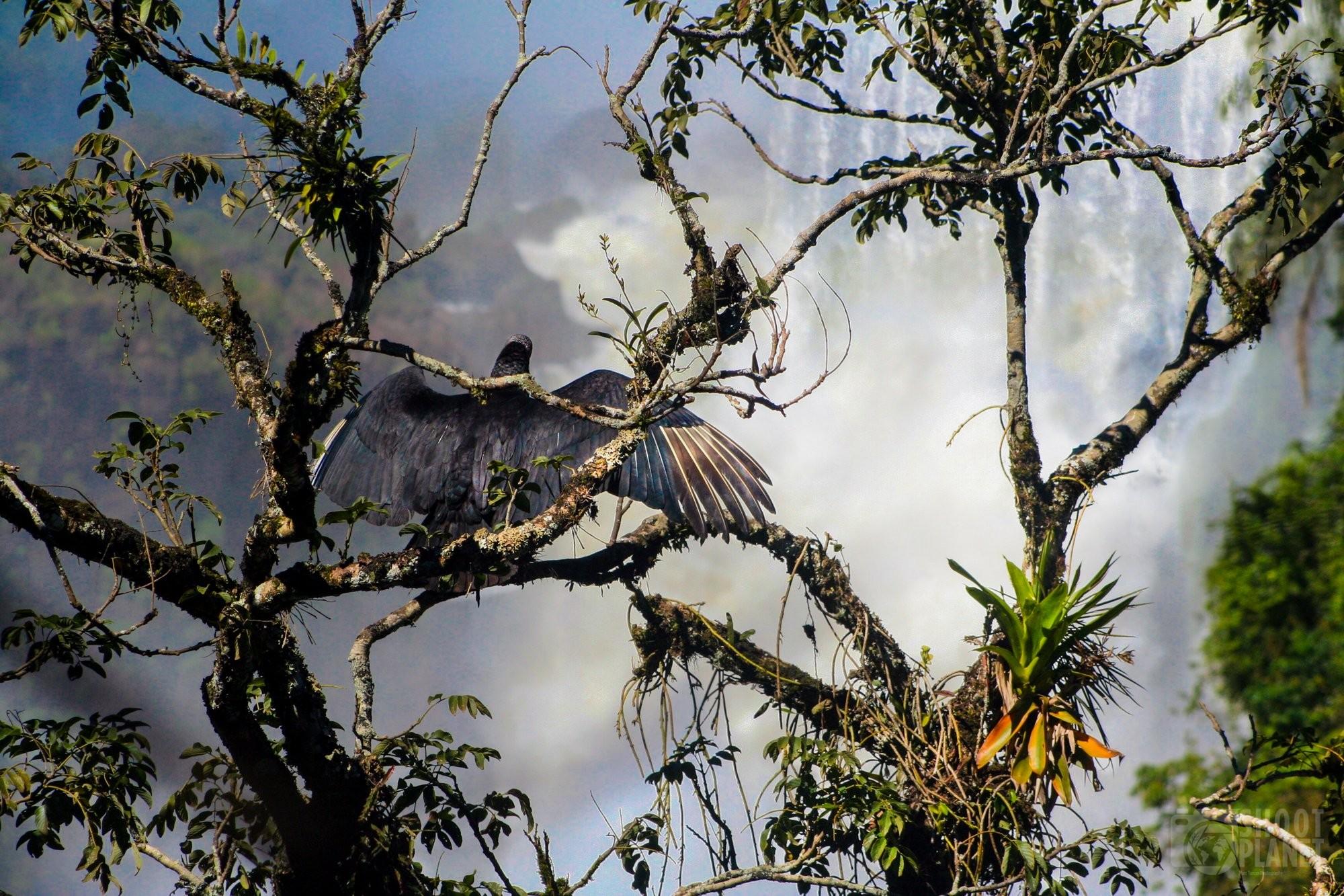 Condor vulture in Iguazu Falls, Brazil