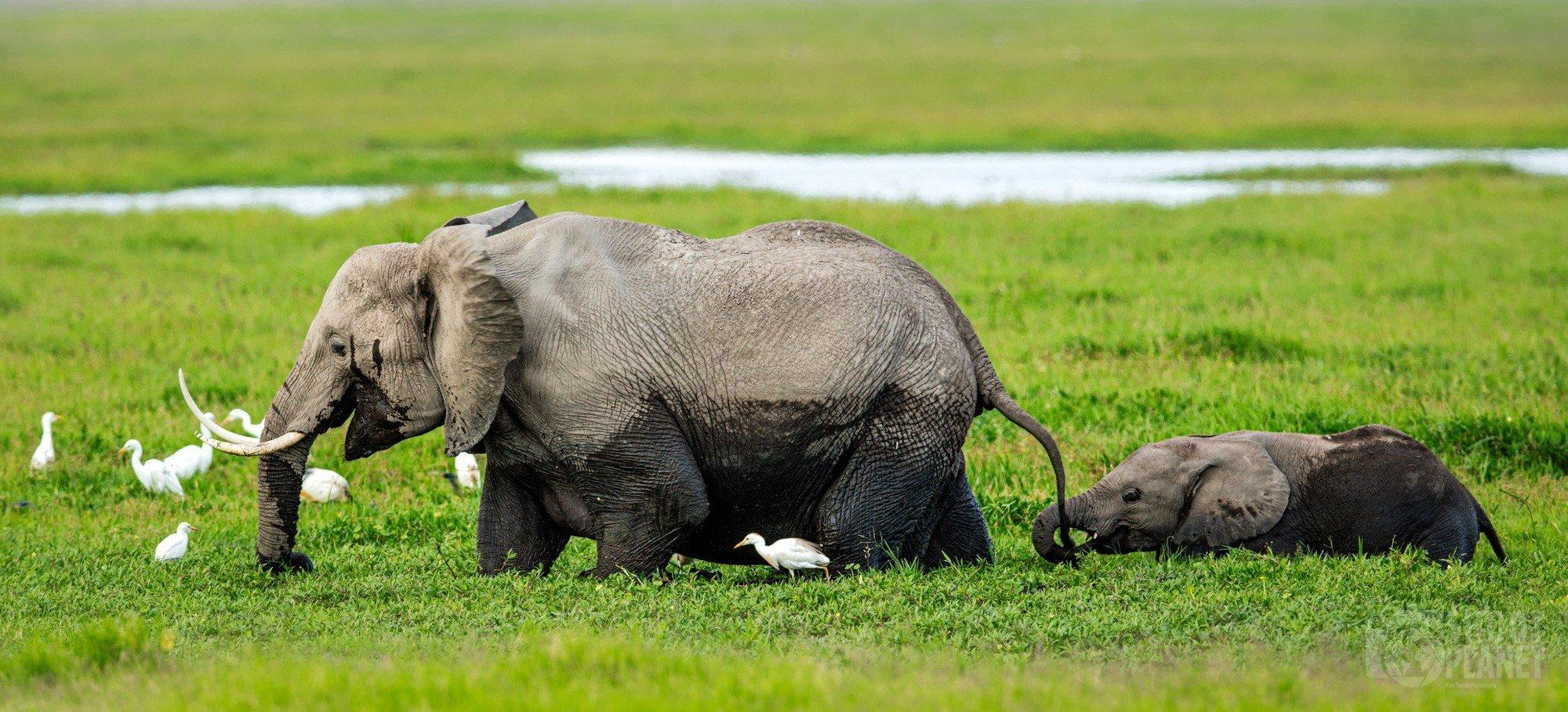 Mother and calf elephants Amboseli park Kenya