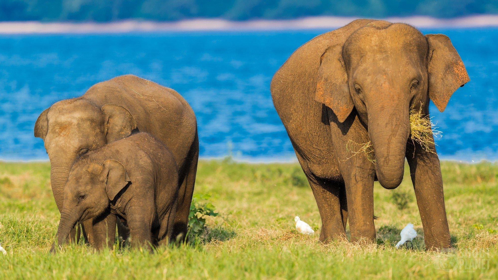 Elephants in Minneriya National Park Sri Lanka