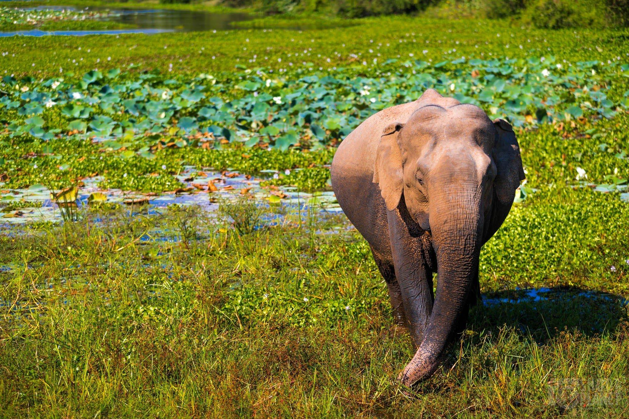 Elephant in Yala jungle lake, Sri Lanka