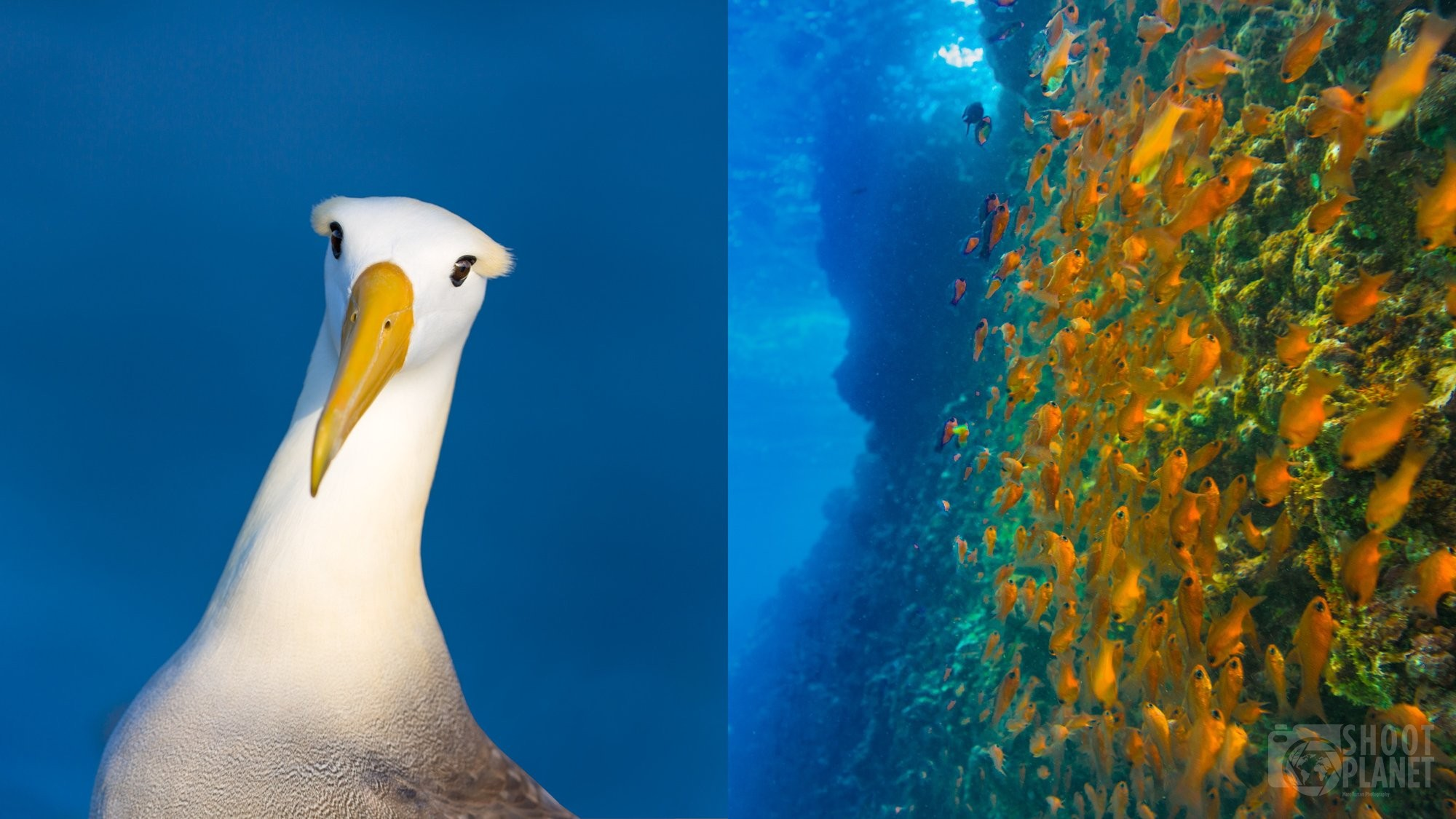 Waved albatross and underwater photo in Galapagos