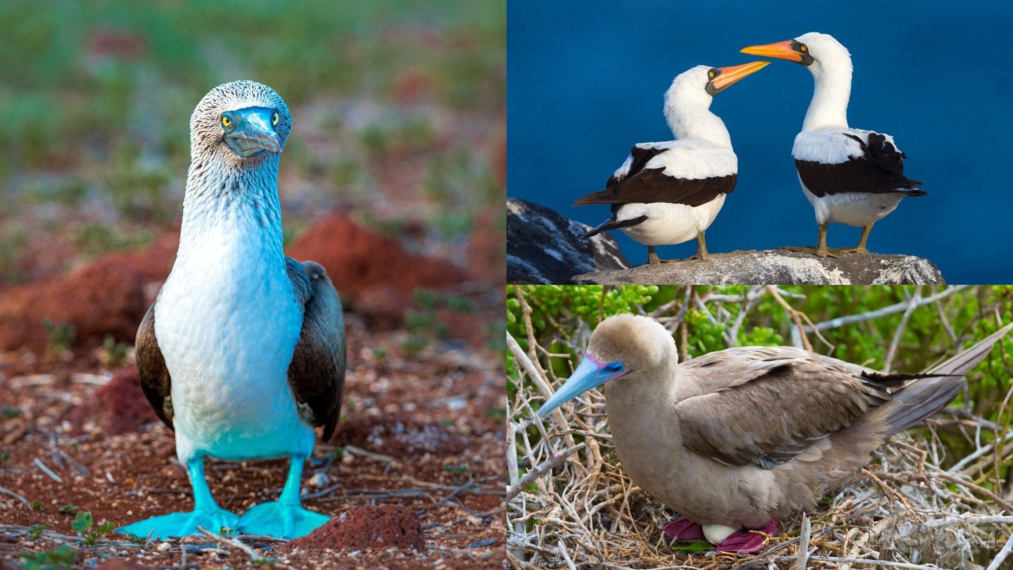 Boobies of Galapagos islands, Ecuador