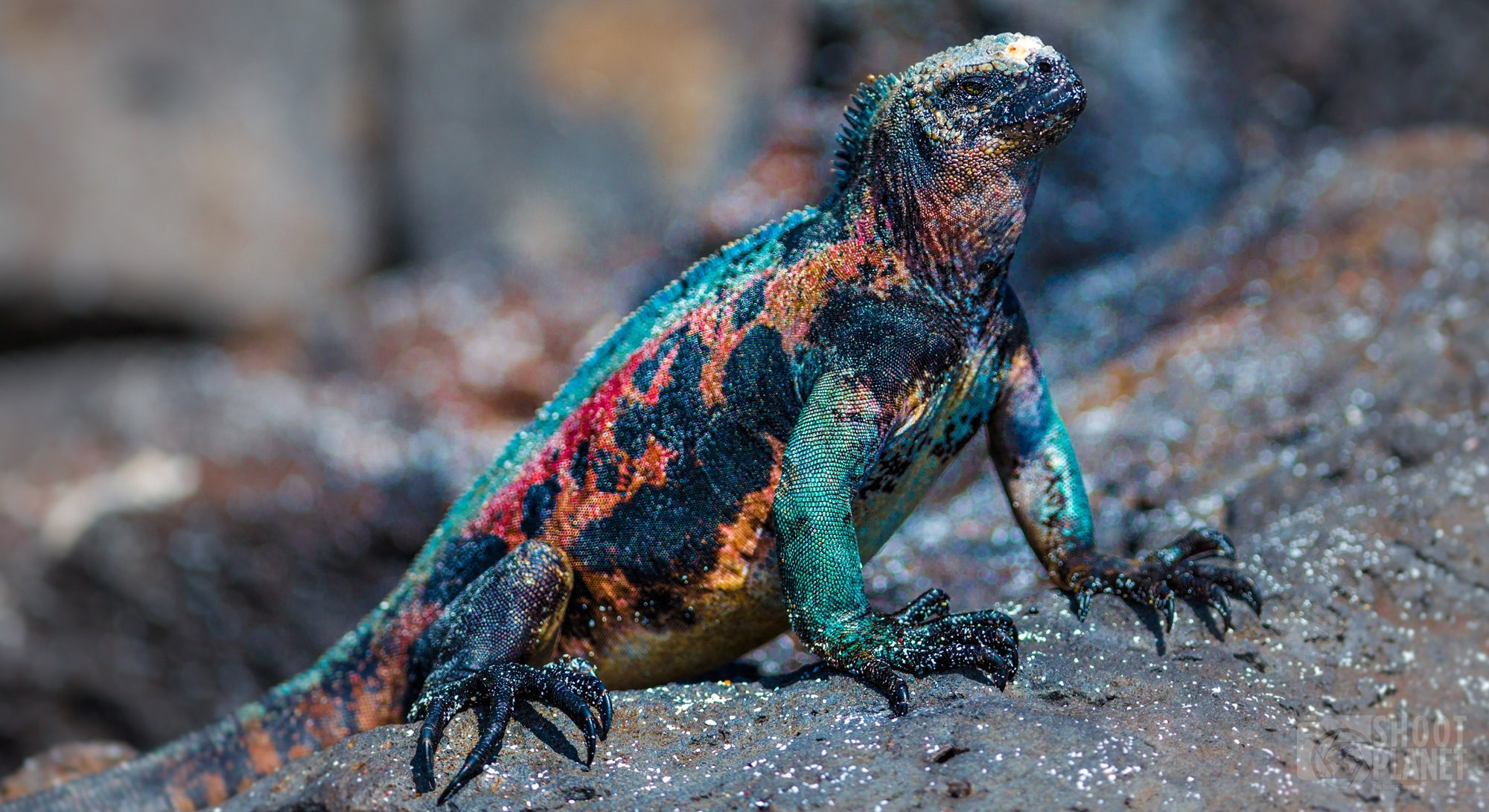 Christmas marine iguana of Galapagos Islands