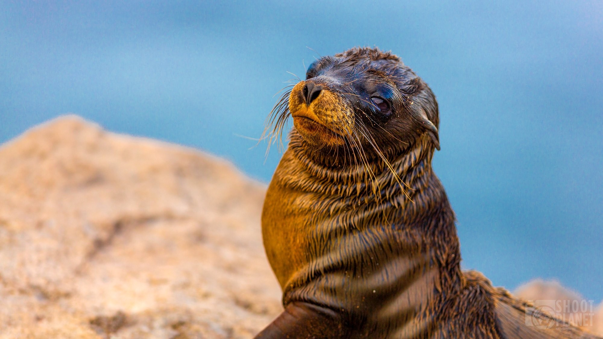 Baby fur seal portrait in Galapagos Islands