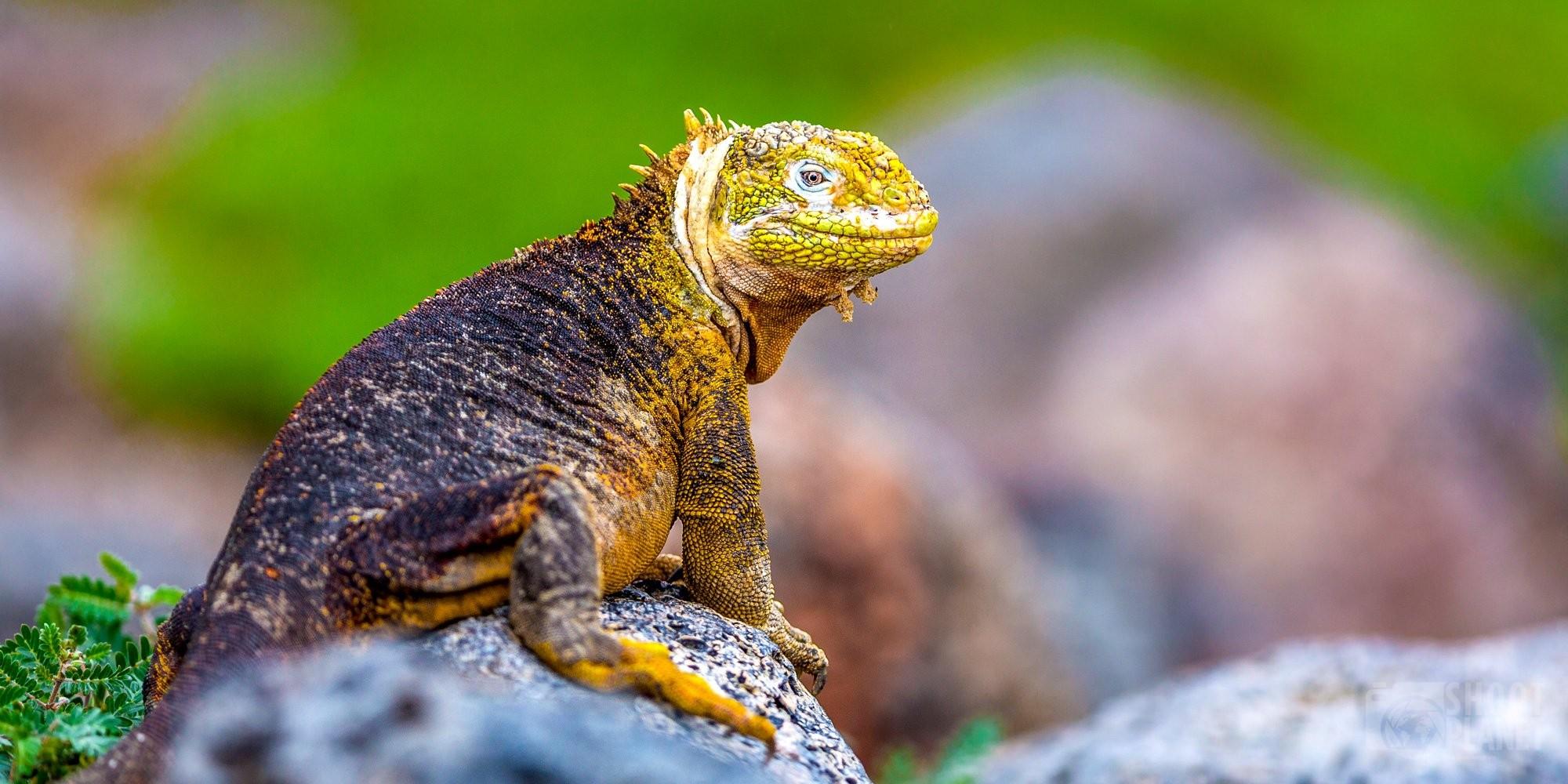 Land iguana in Galapagos Islands Ecuador