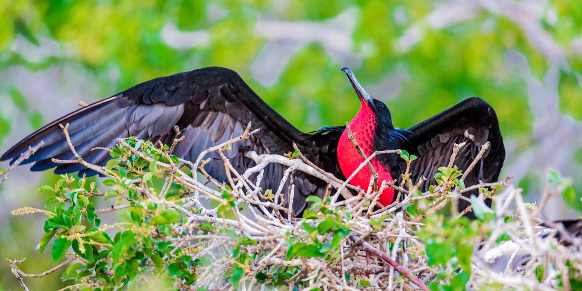Male great frigatebird in Galapagos Ecuador