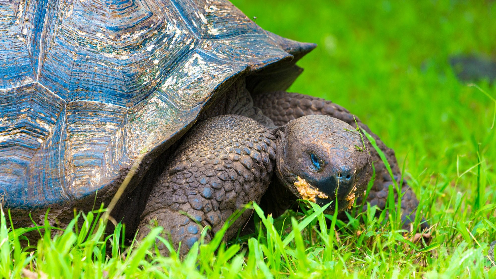 Giant tortoise of the Galapagos in Ecuador