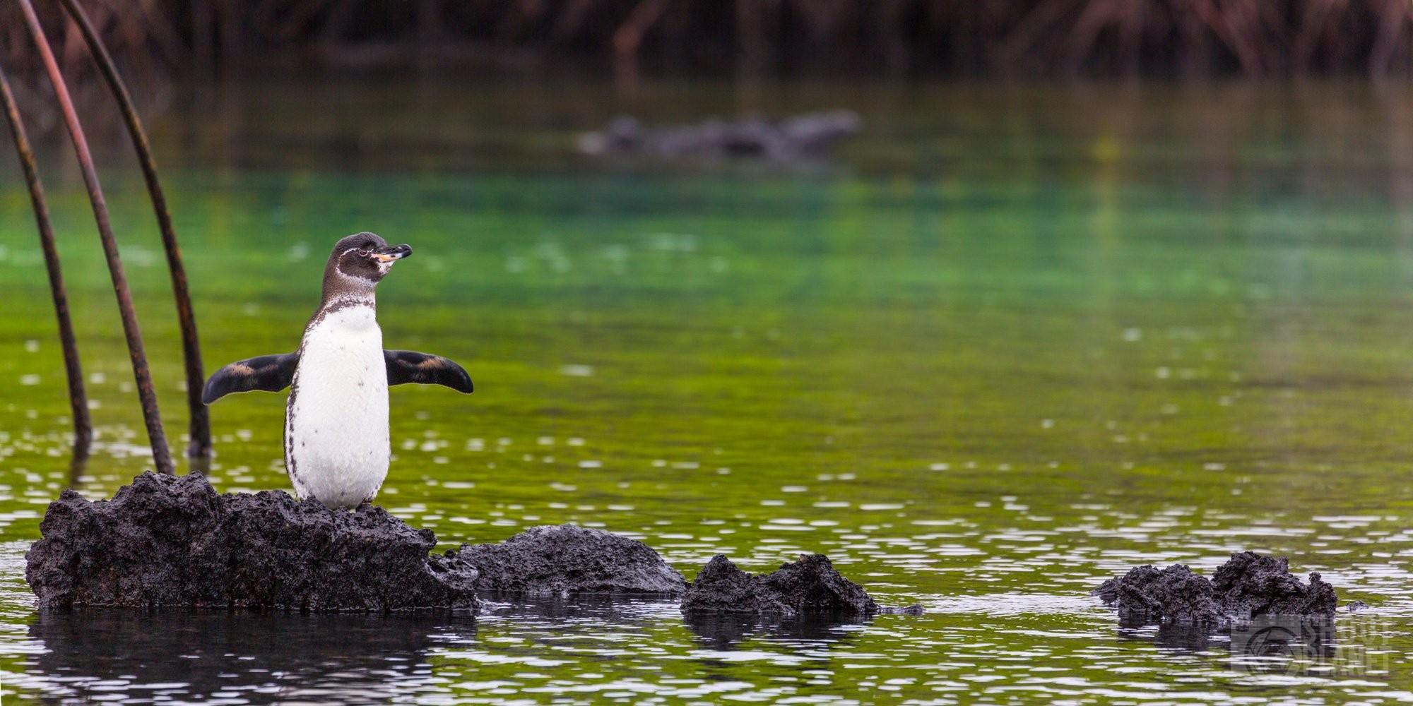Galapagos Penguin on a rock, Ecuador