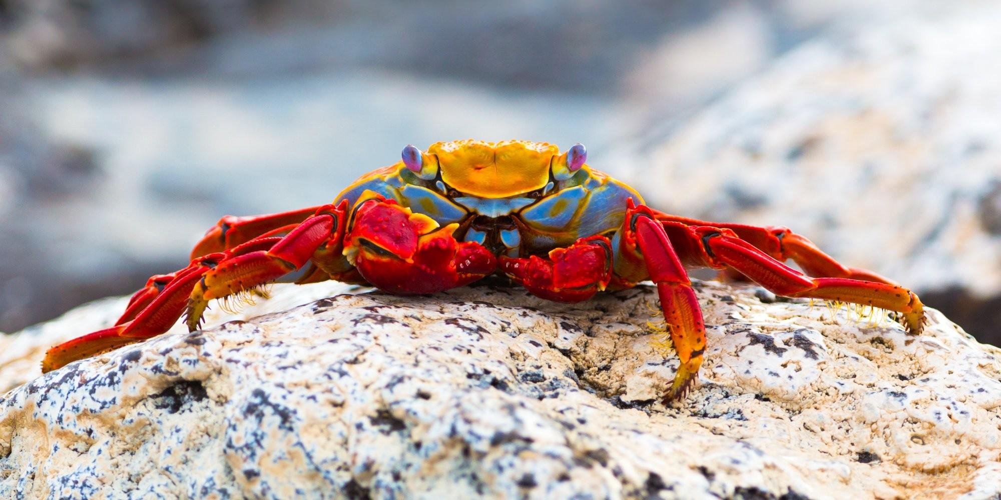 Sally Lightfoot crab in Galapagos Ecuador