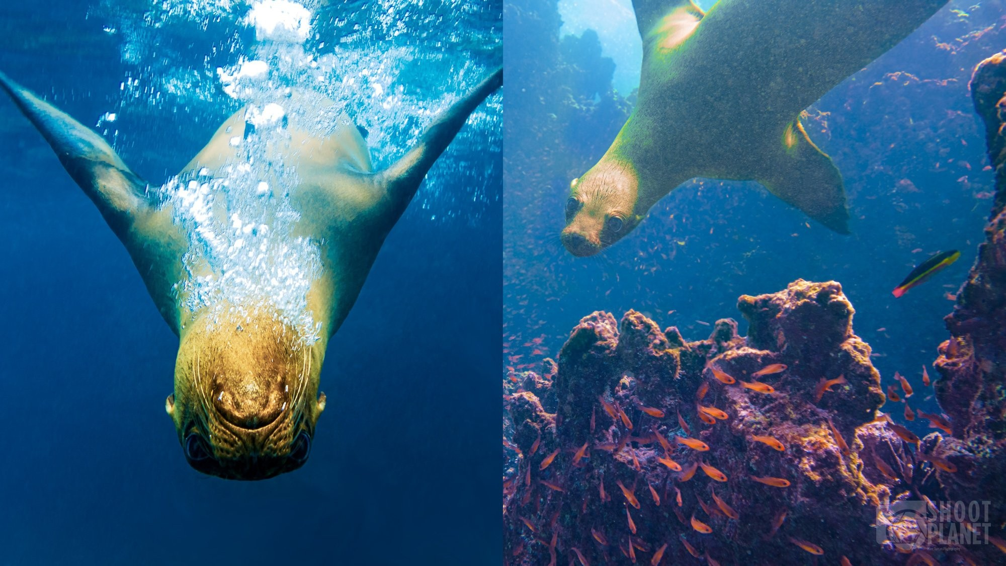Lion seals underwater in Galapagos Islands