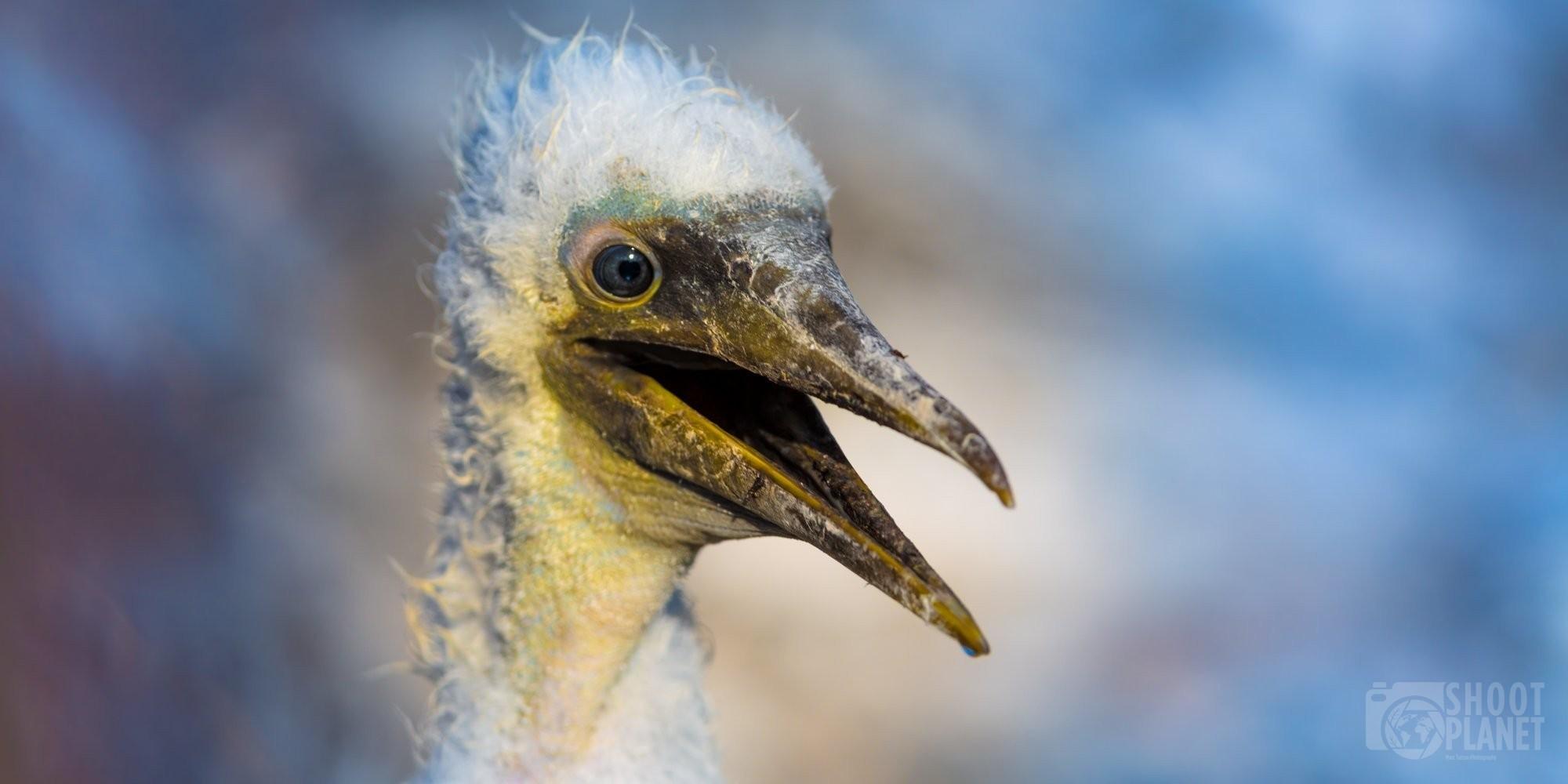 Waved albatross chick portrait in Galapagos Ecuador