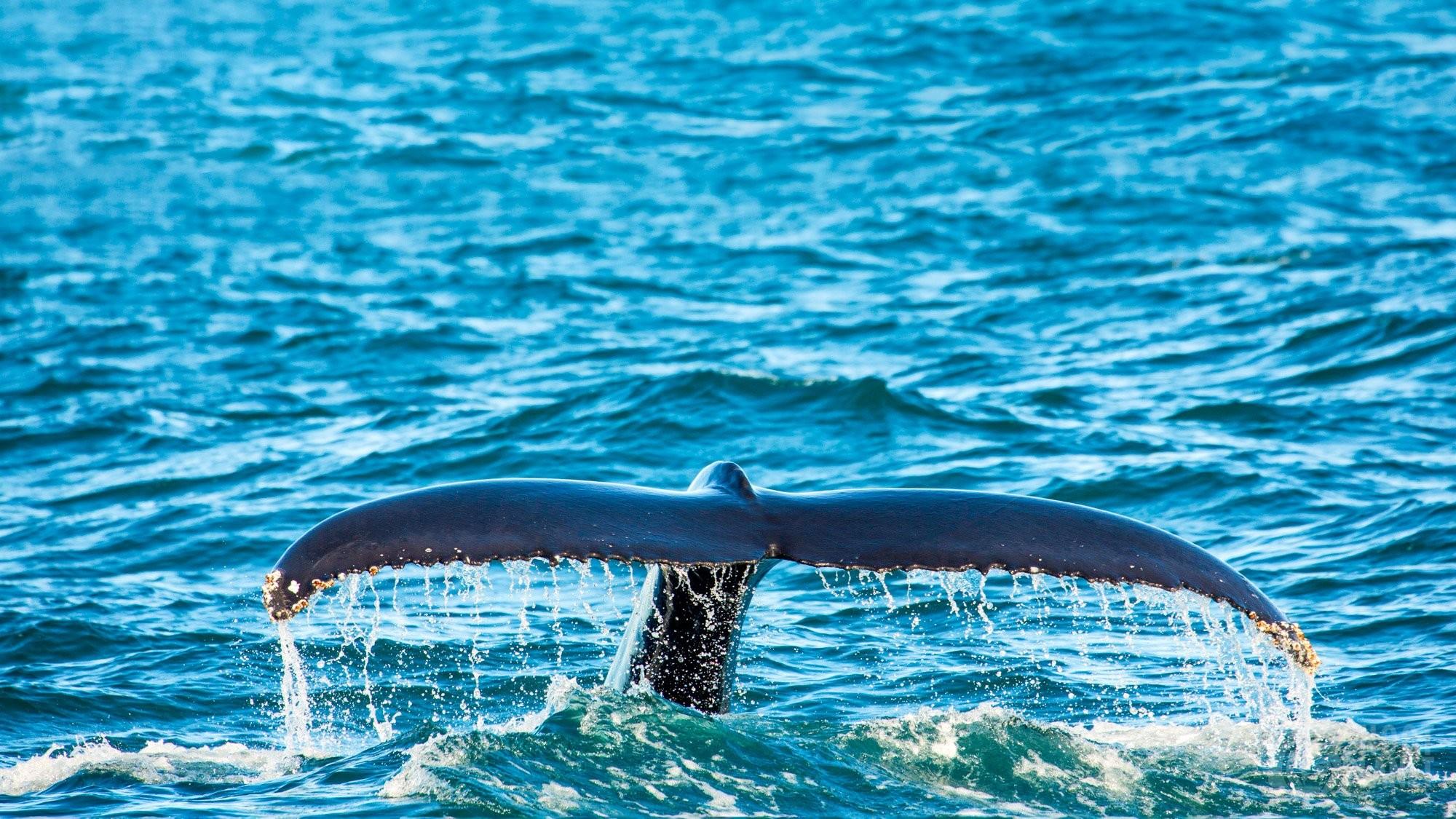 Humpback whale tail in Skjalfandi Bay, Iceland