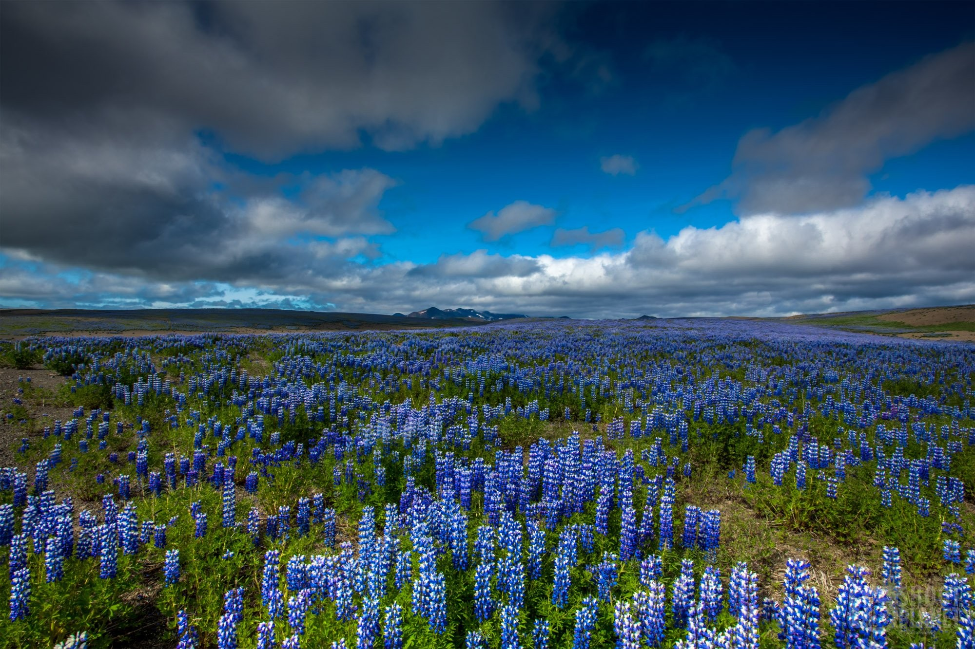 lupine field in Iceland during summer