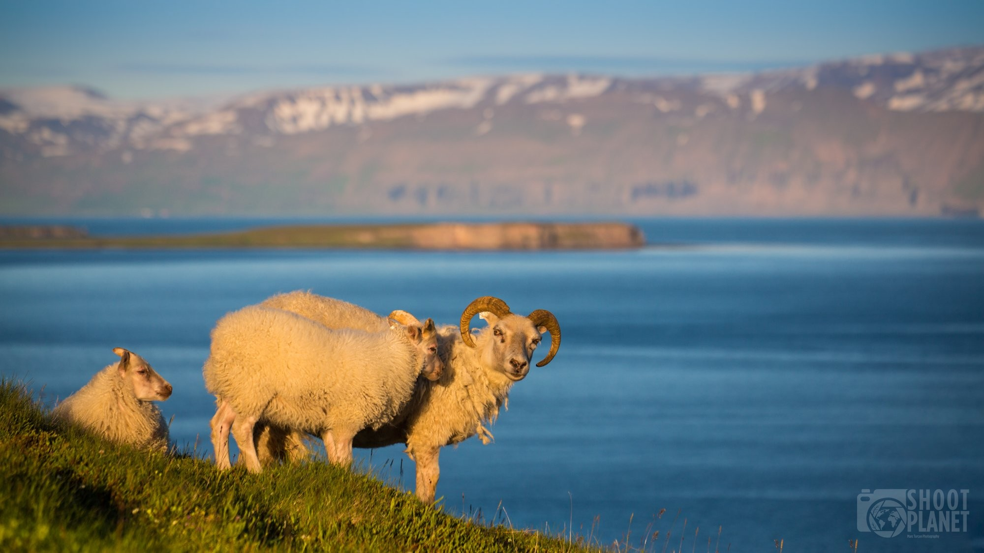 Icelandic goats in the Tjoernes Peninsula Iceland