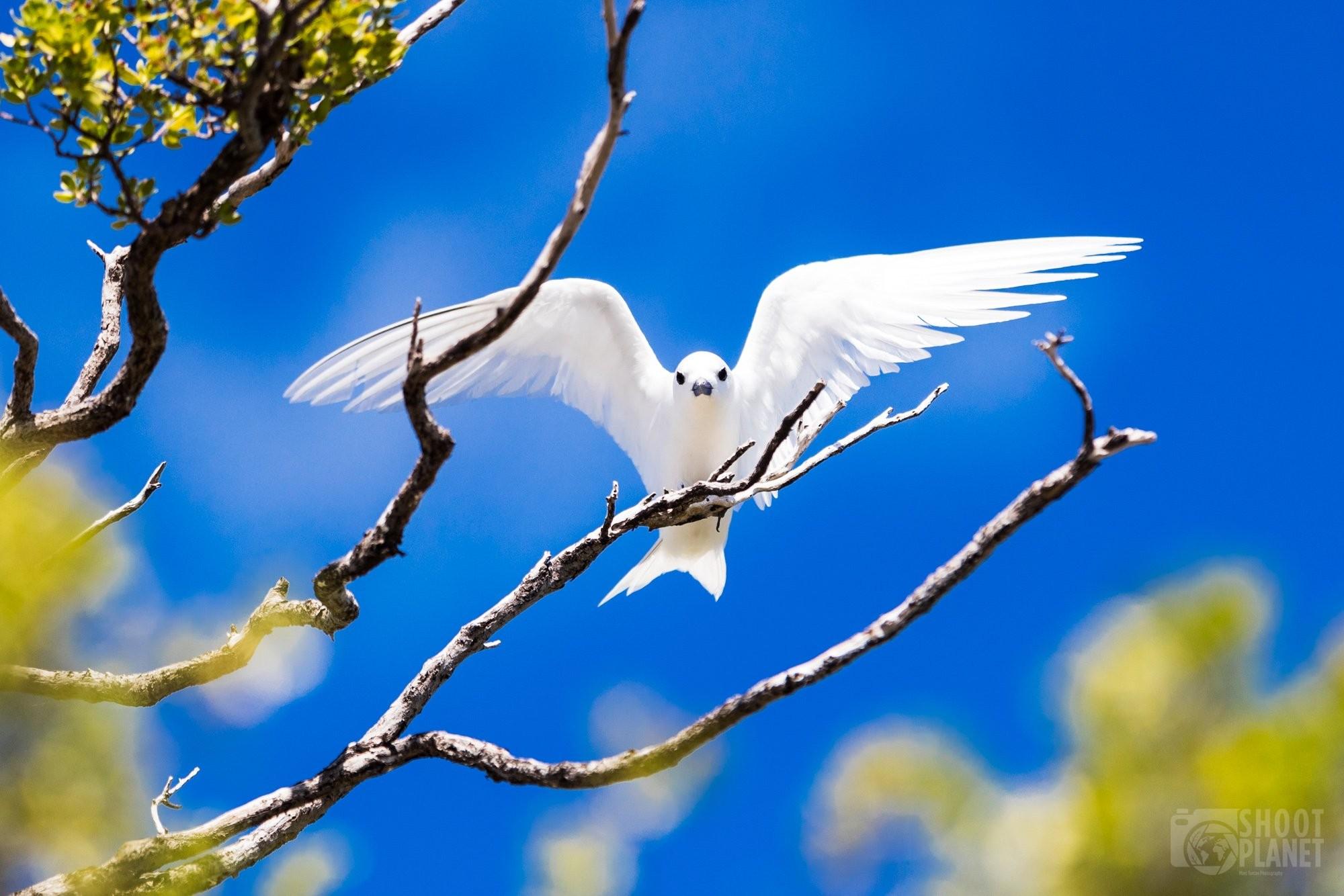 White tern bird on Tikehau Tuamotus Polynesia