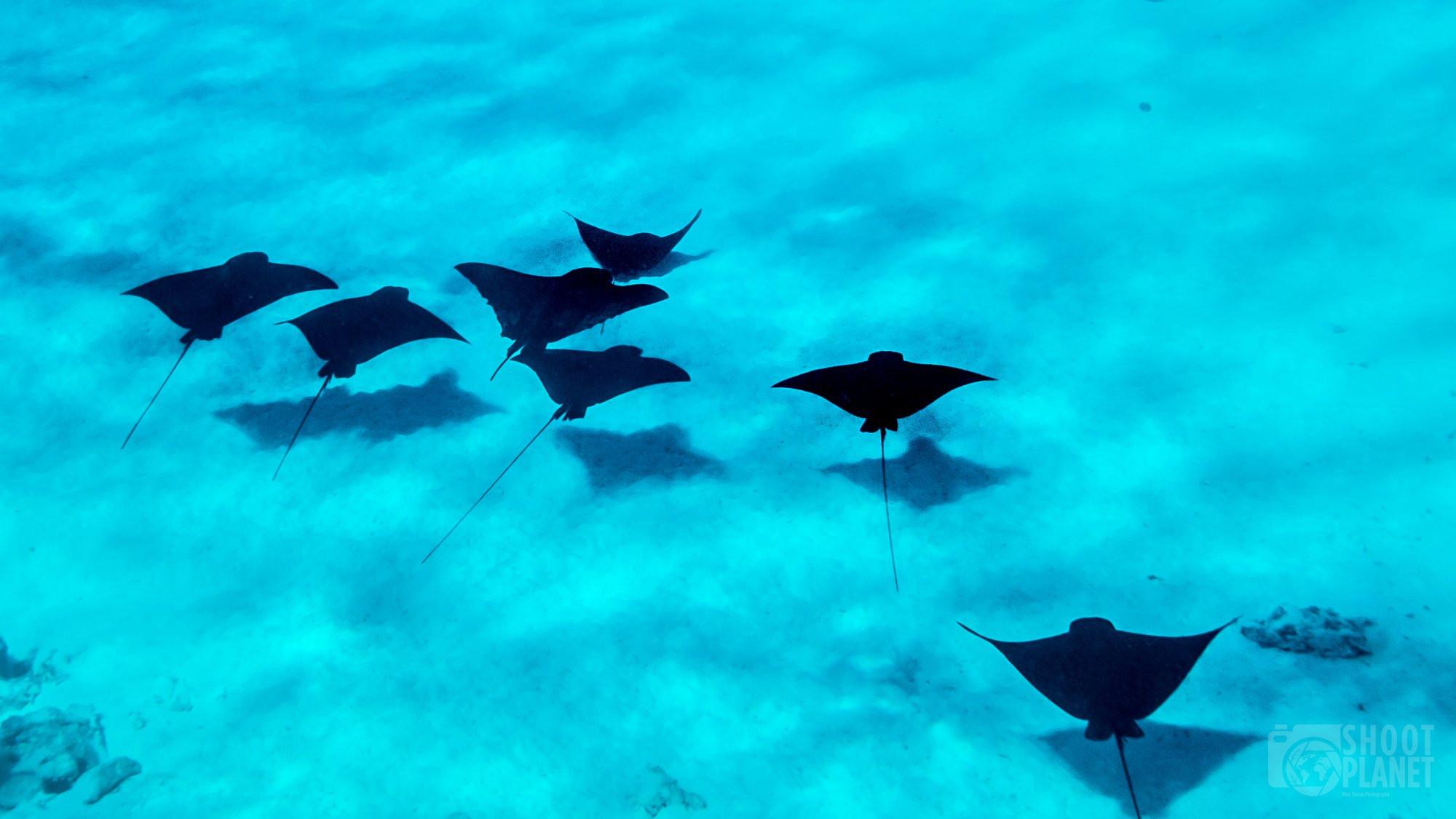 Eagle rays in Bora-Bora lagoon, Tahiti