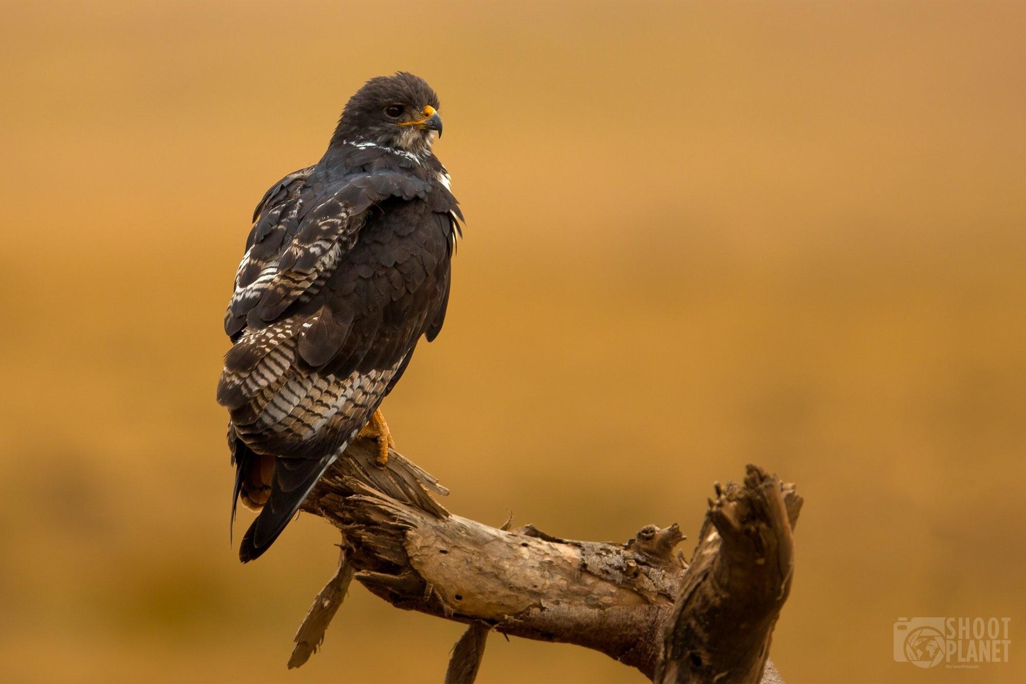 Black-chested snake eagle, Ngorongoro Tanzania