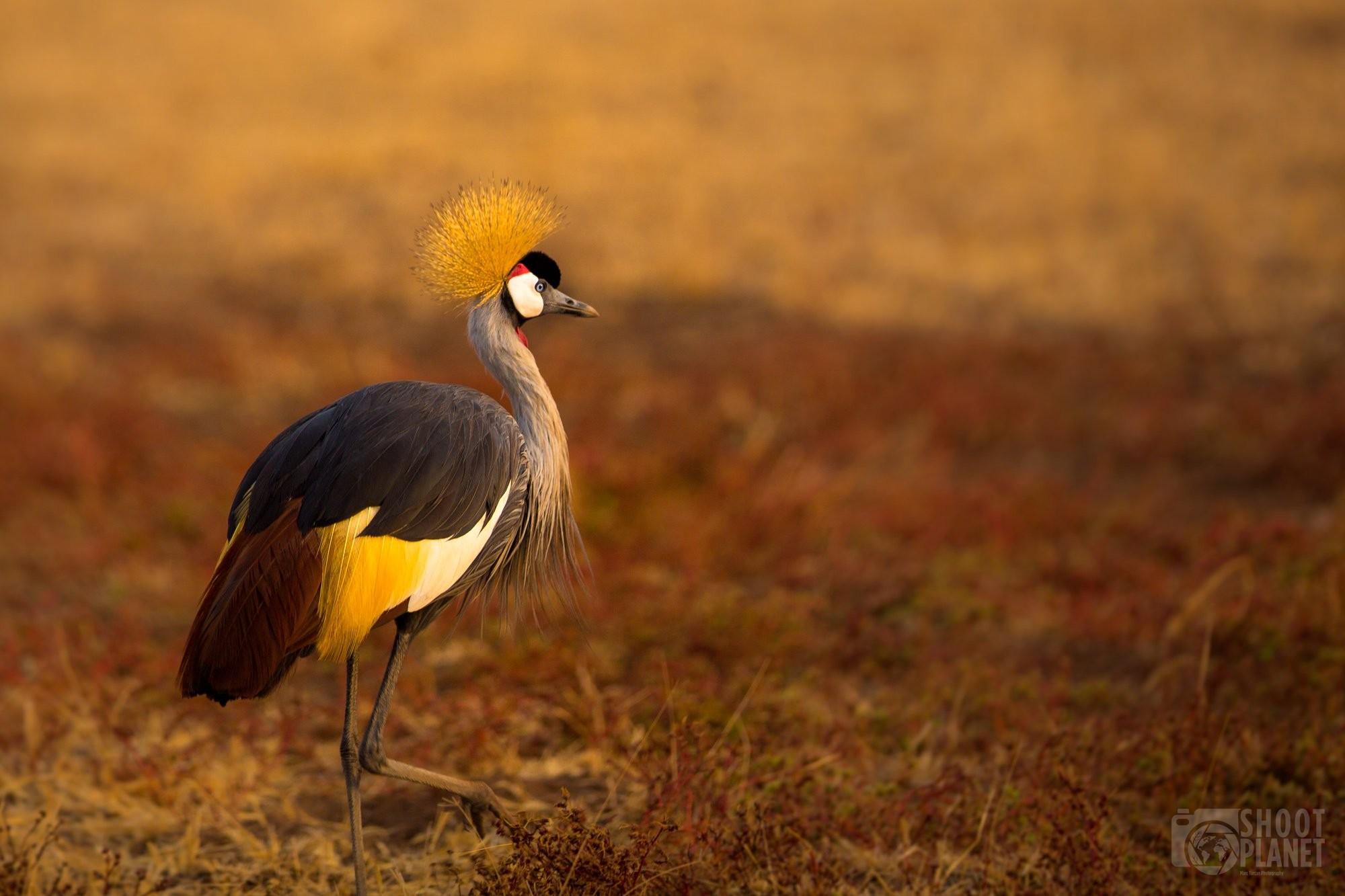 black-crowned crane bird, Ngorongoro Tanzania