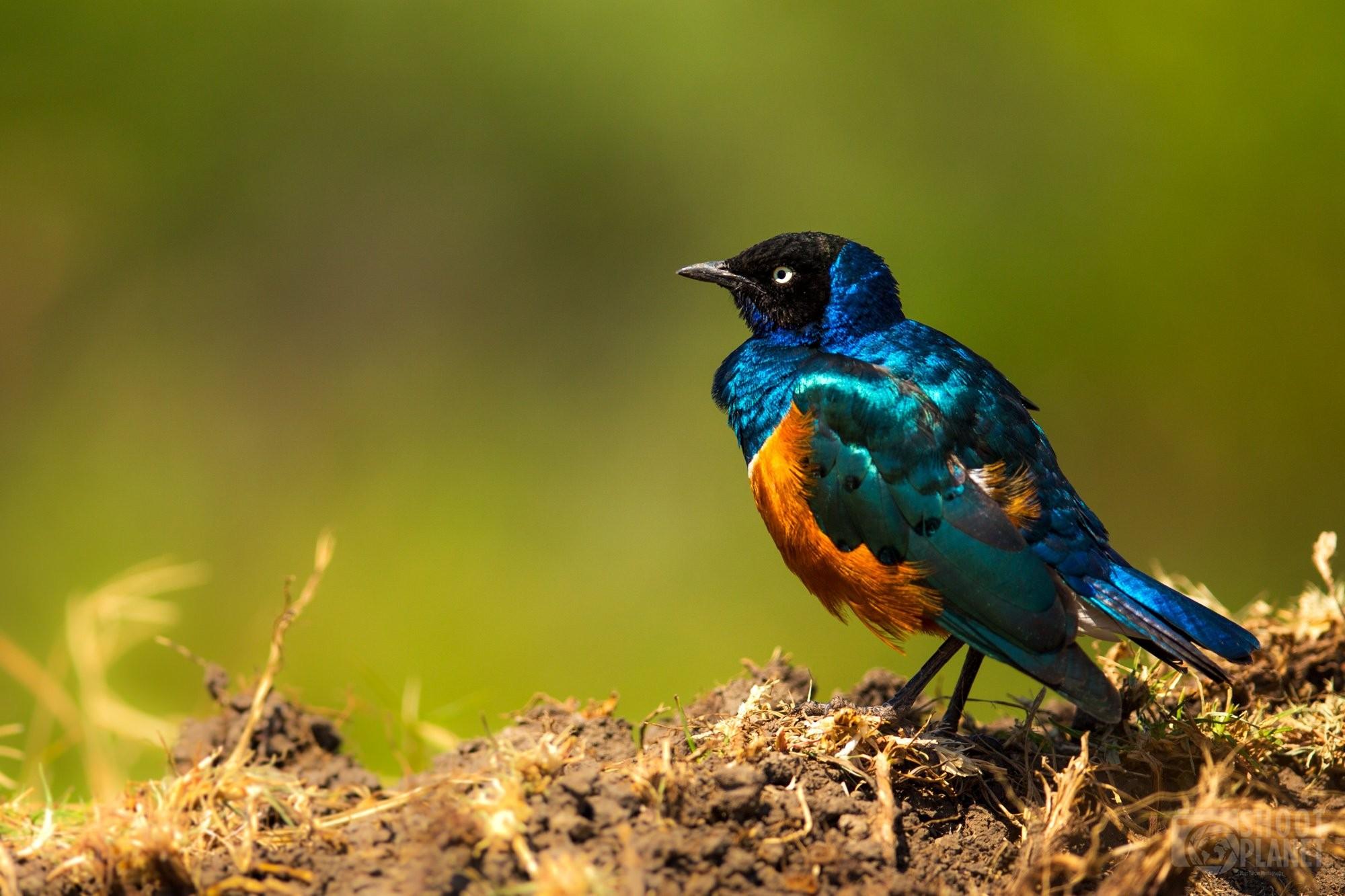 Greater blue-eared starling bird, Ngorongoro Tanzania
