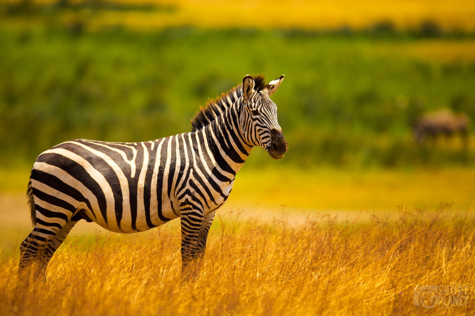 Plain zebra in Ngorongoro caldera savanna, Tanzania