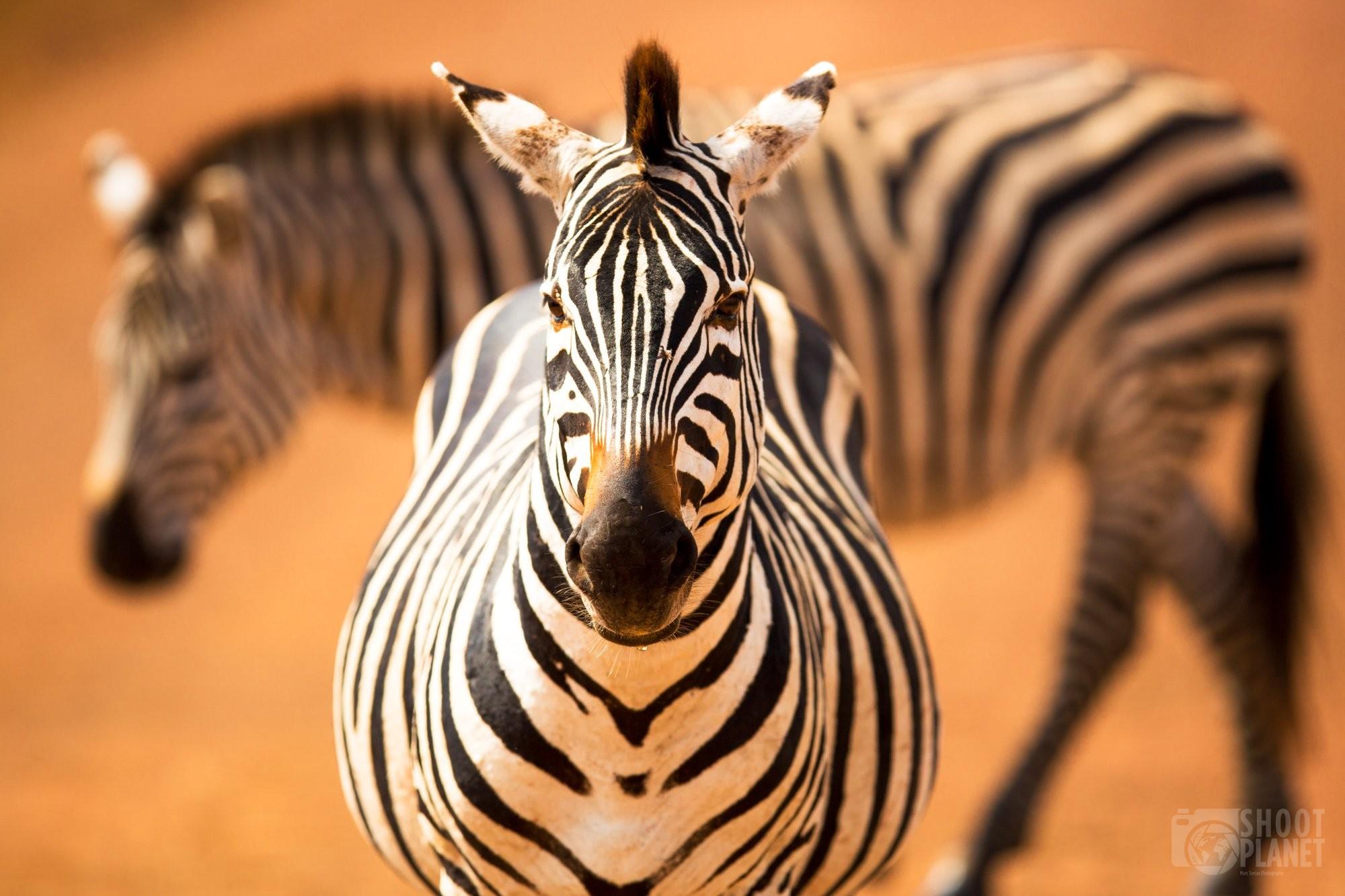 Plain zebras crossing in Ngorongoro, Tanzania