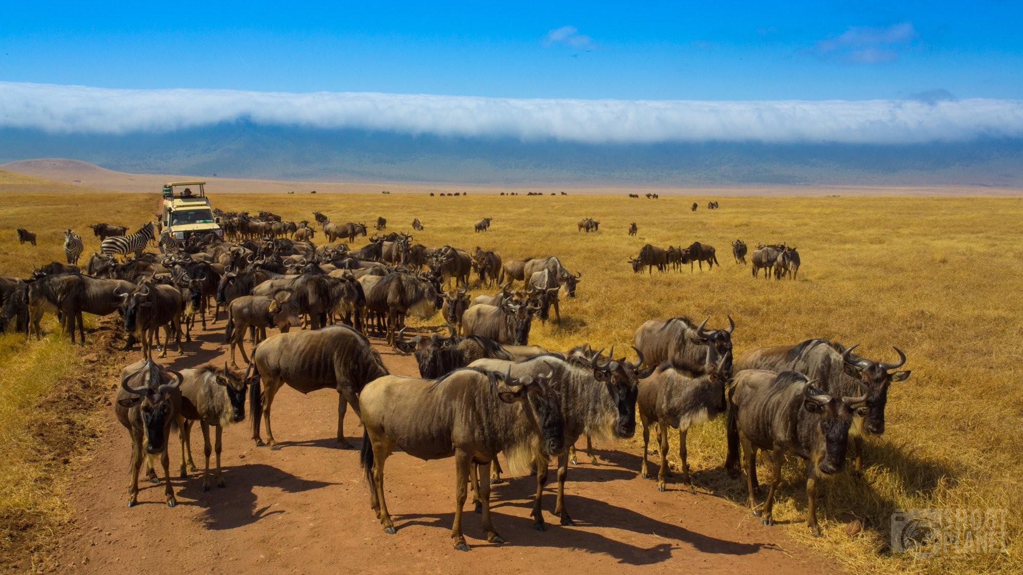 Wildebeests herd in Ngorongoro, Tanzania