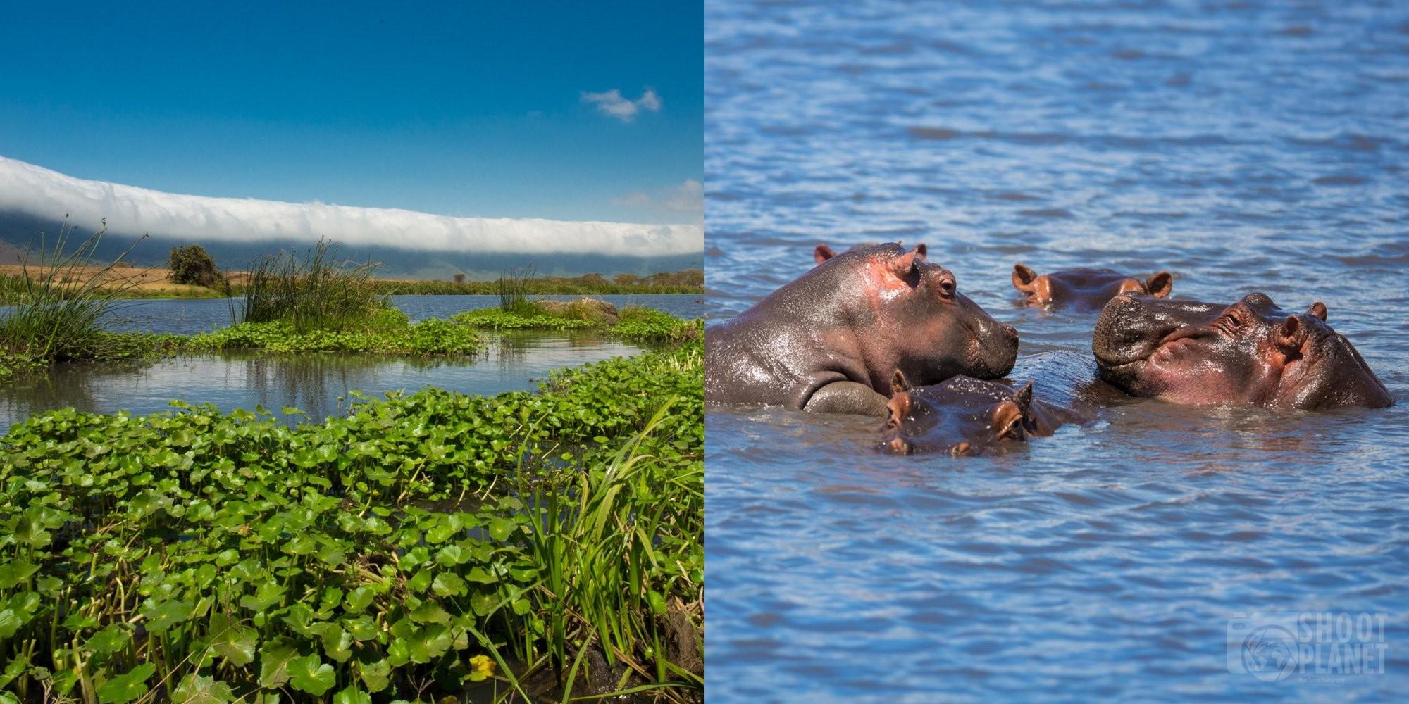 Hippos in the Ngorongo crater, Tanzania