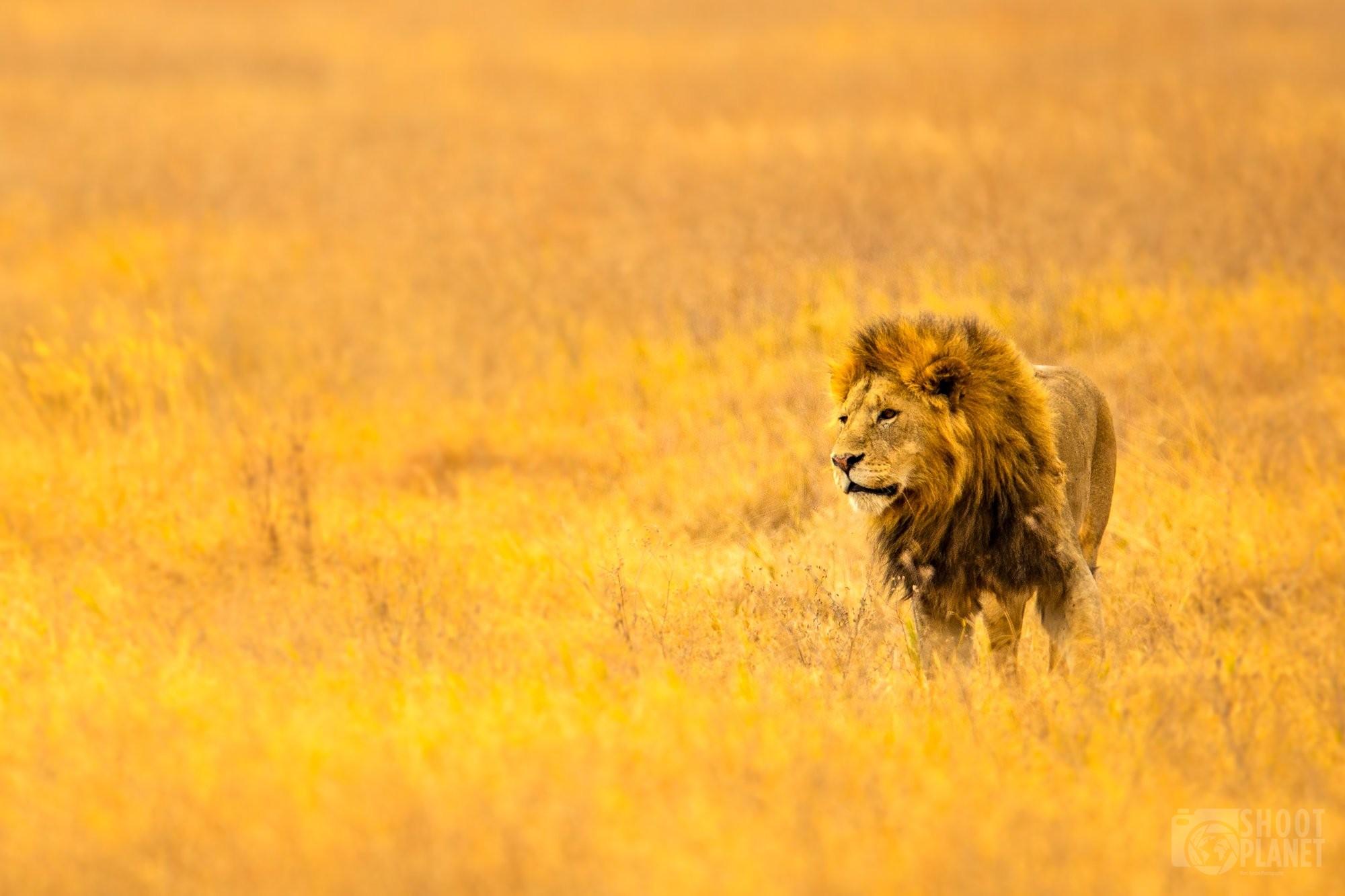 Lion hunting in Ngorongoro caldera, Tanzania