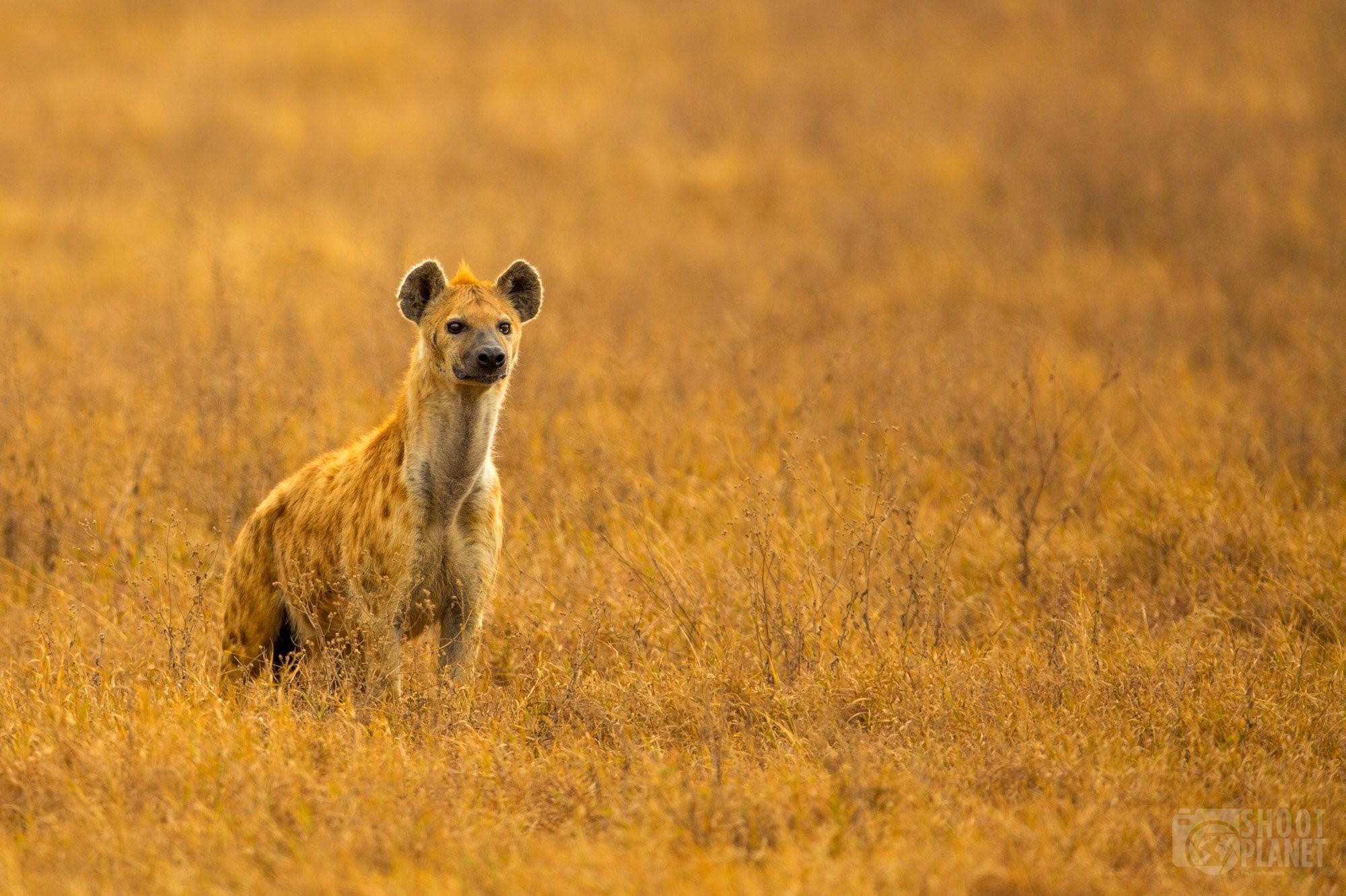 Spotted hyena, Ngorongoro caldera, Tanzania