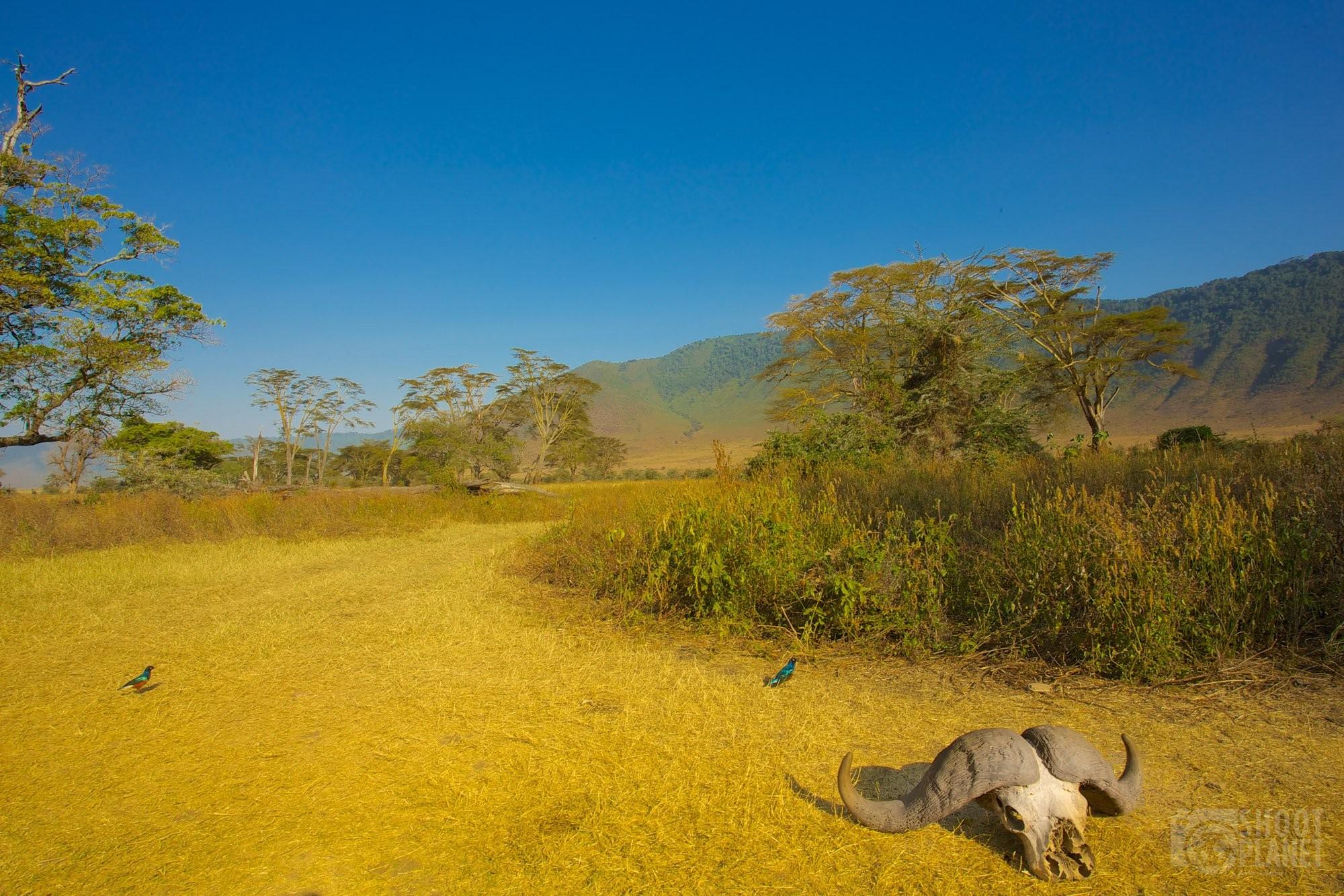 Ngoorongo crater buffalo skeleton head, Tanzania