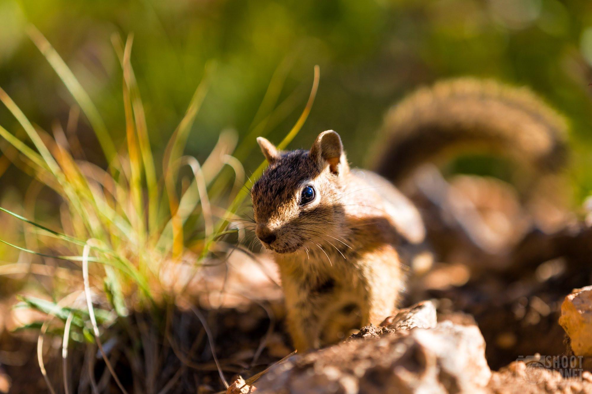 Squirrel, Bryce Canyon National Park USA