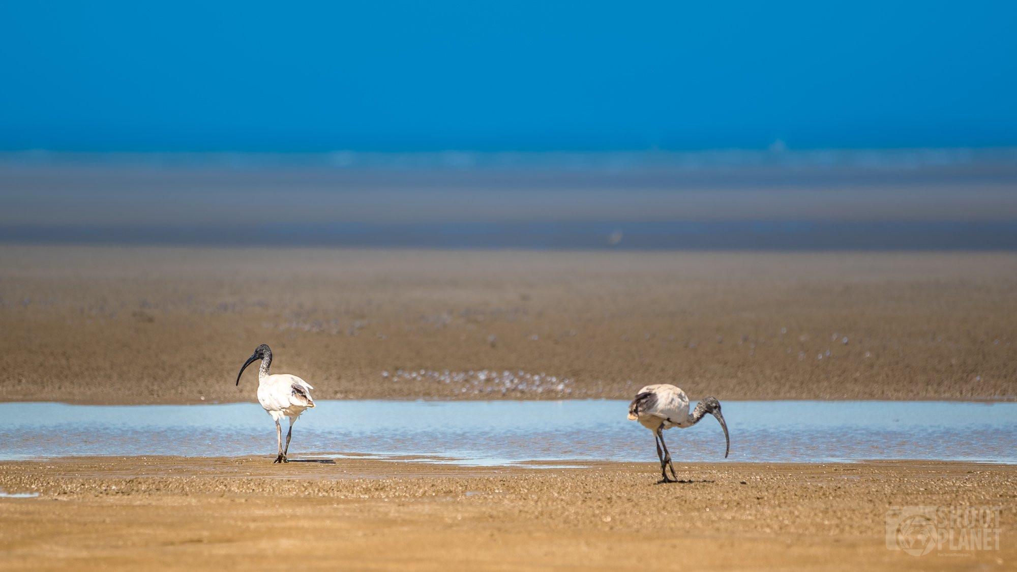 Nudgee beach birds, Brisbane Australia