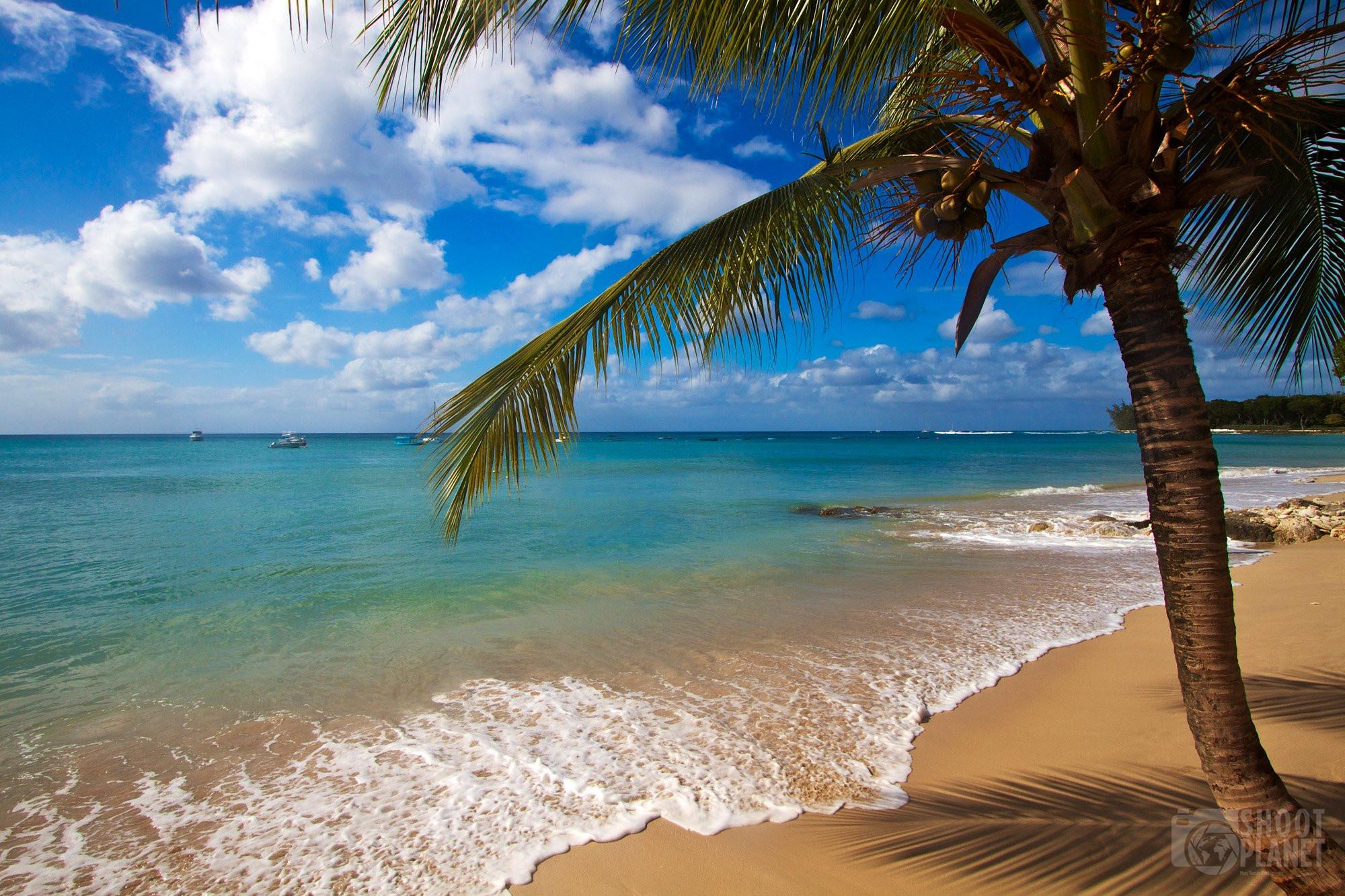 Discovery Bay beach coconut tree, Barbados Island