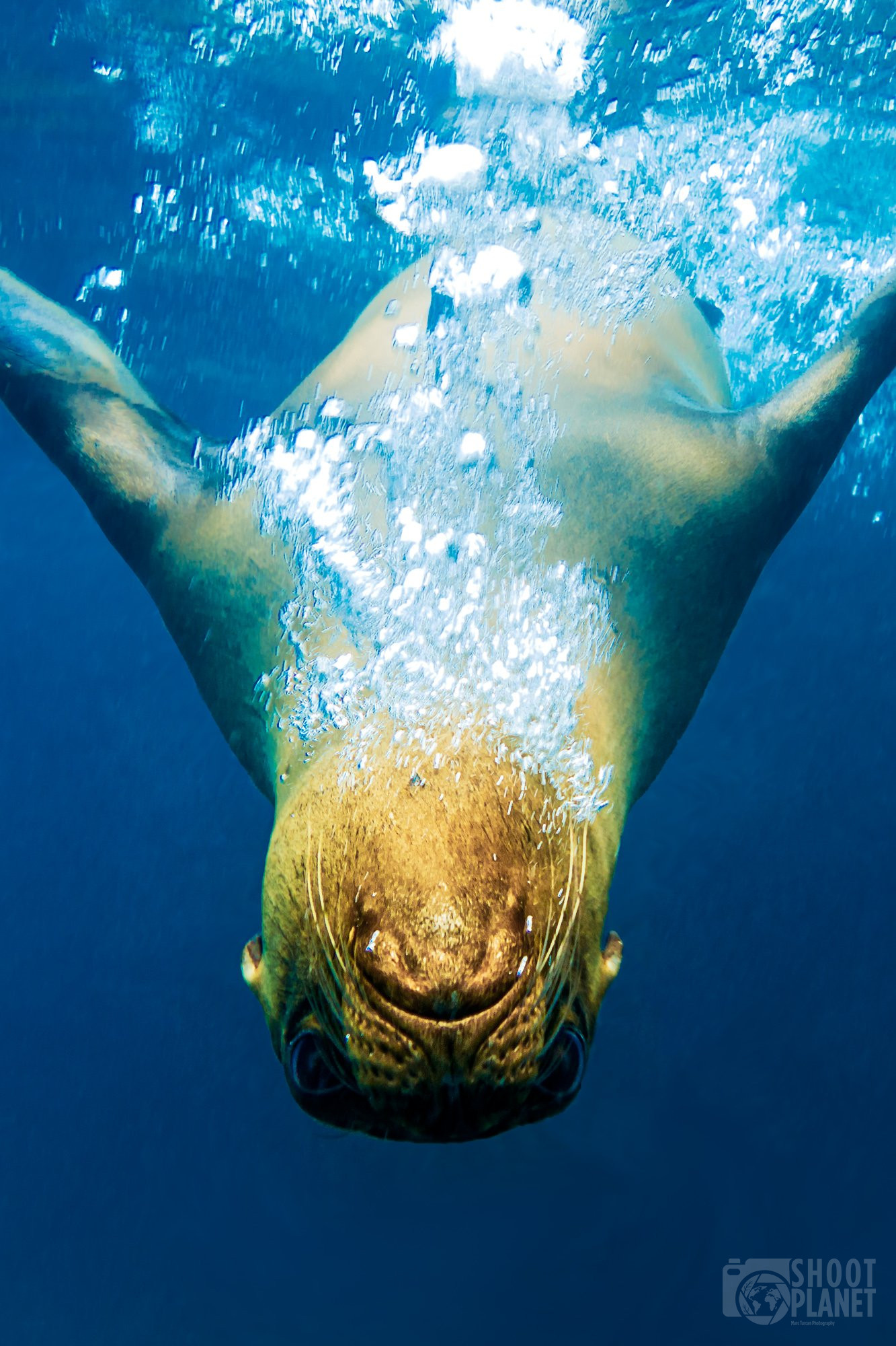 Lion seal underwater, Galapagos Islands
