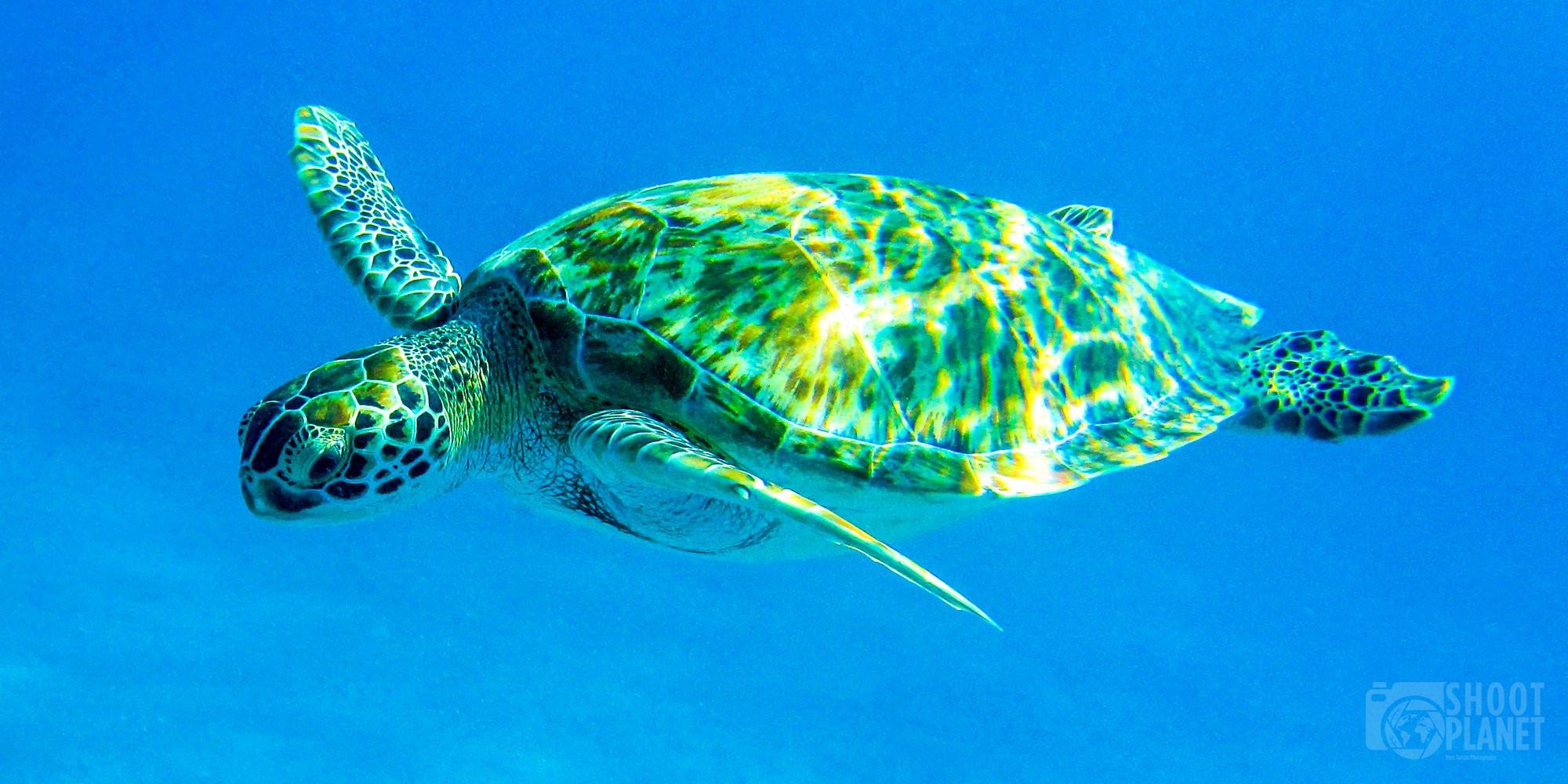 Underwater green turtle, Saint Thomas Virgin Island