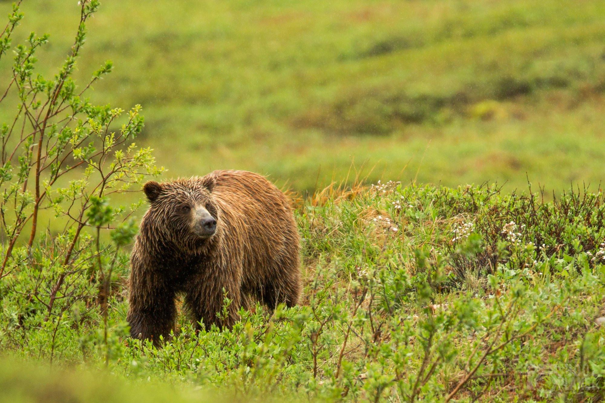 Grizzly in Denali National Park, Alaska USA