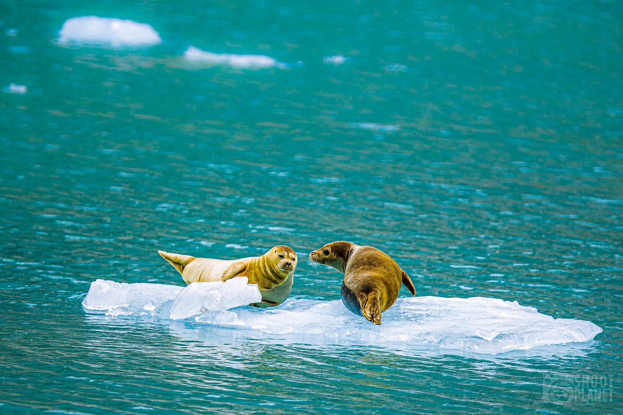 Harbor seals on ice, Kenai Fjords Alaska