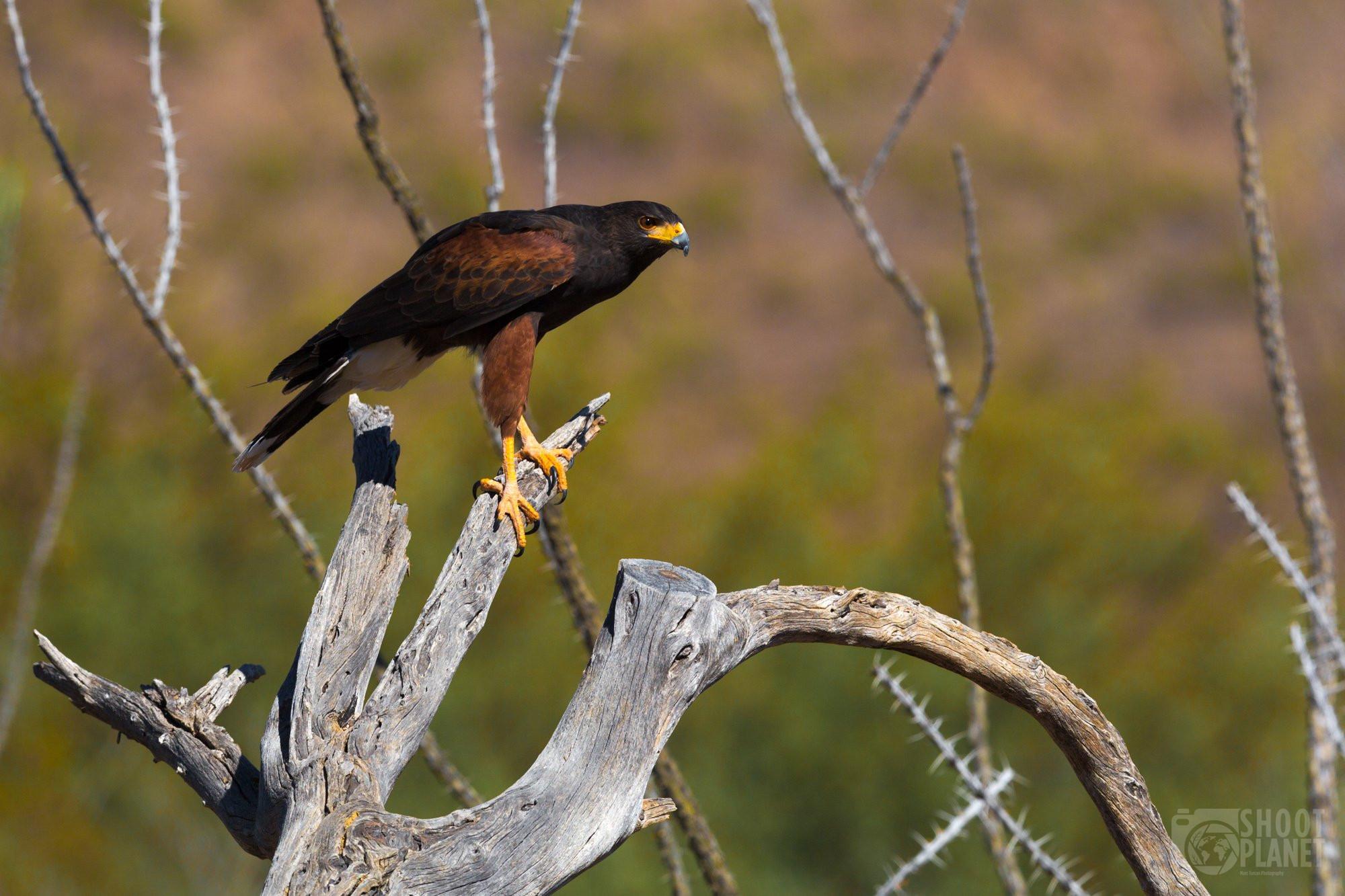 Harris' hawk on Saguaro dead tree, Arizona