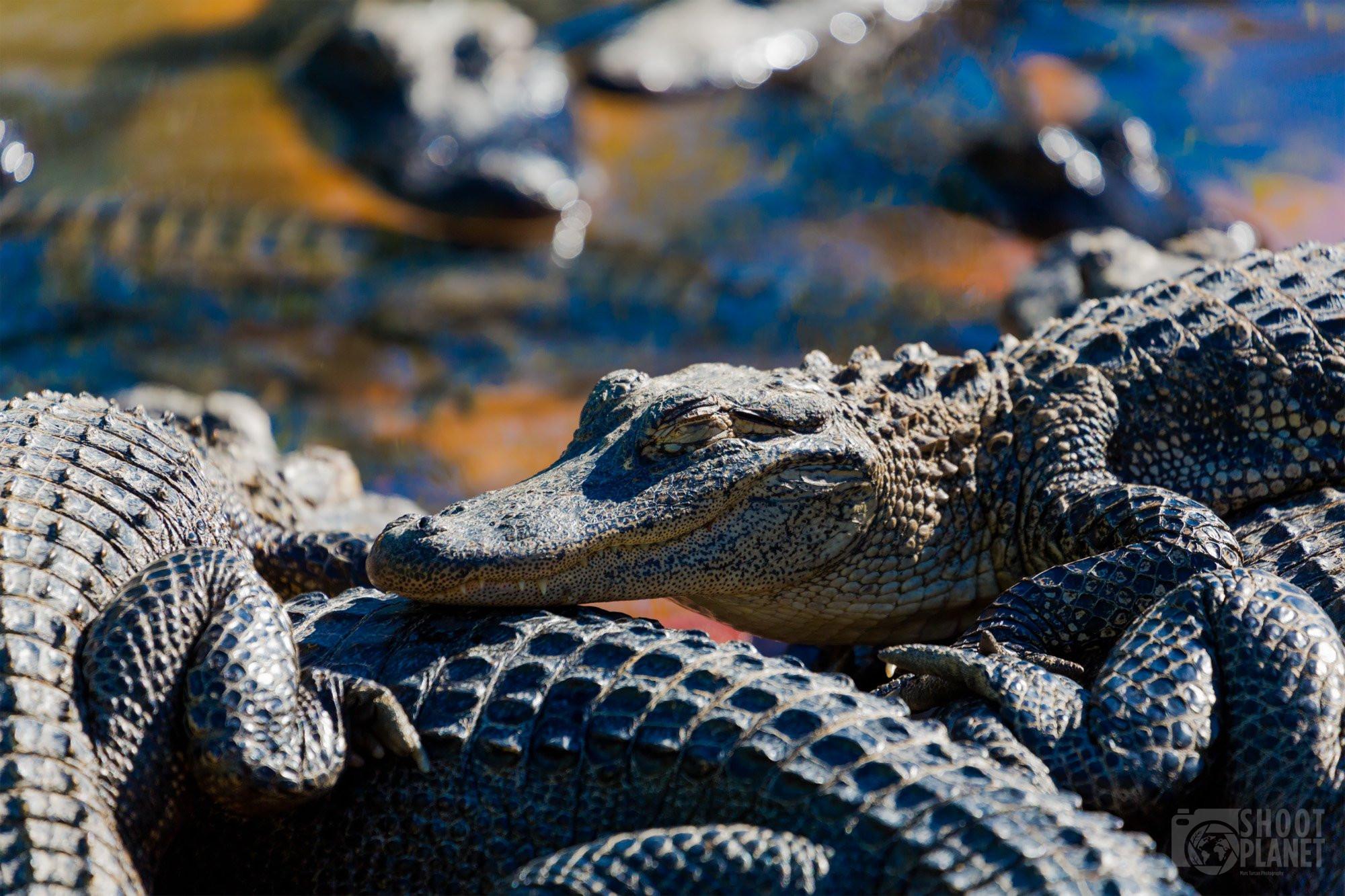 Herd of alligators in the Everglades, Florida