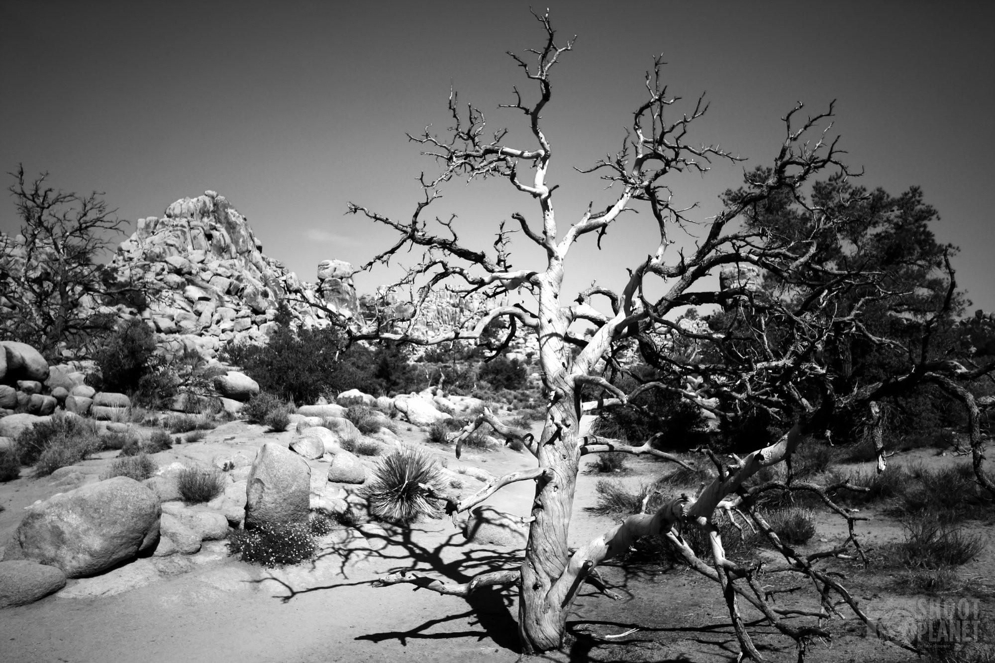 Warped dead tree, Joshua Tree Park, California