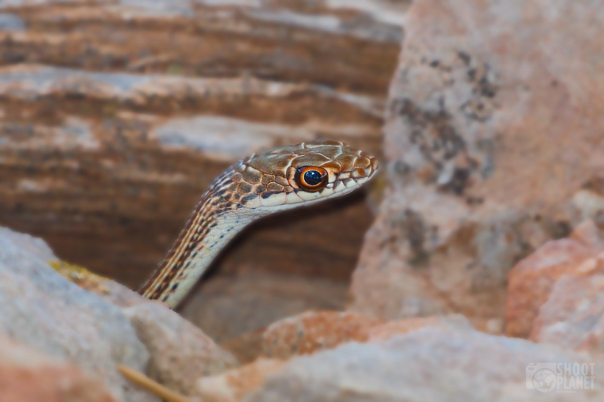 Western terrestrial garter snake portrait, Canyonland Utah