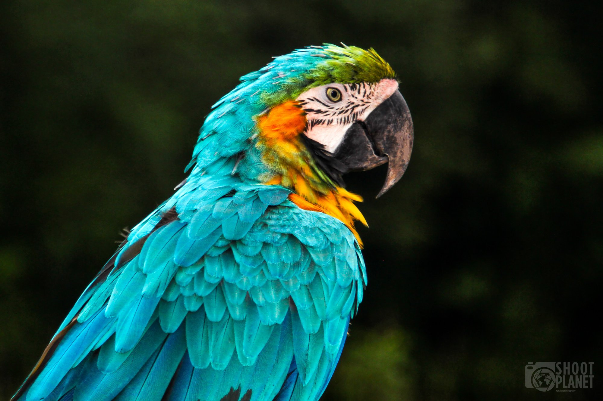 blue and gold macaw, Costa Rica