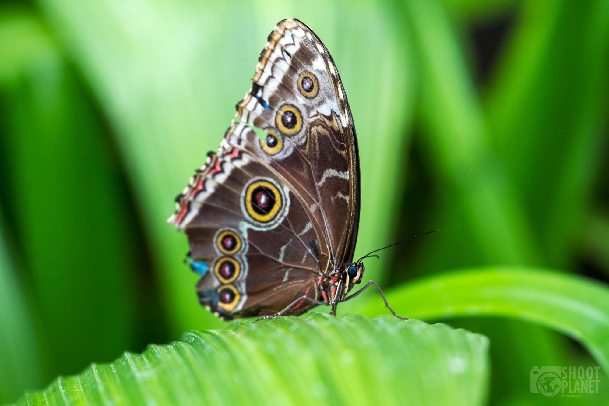 Blue morpho butterfly, Costa Rica