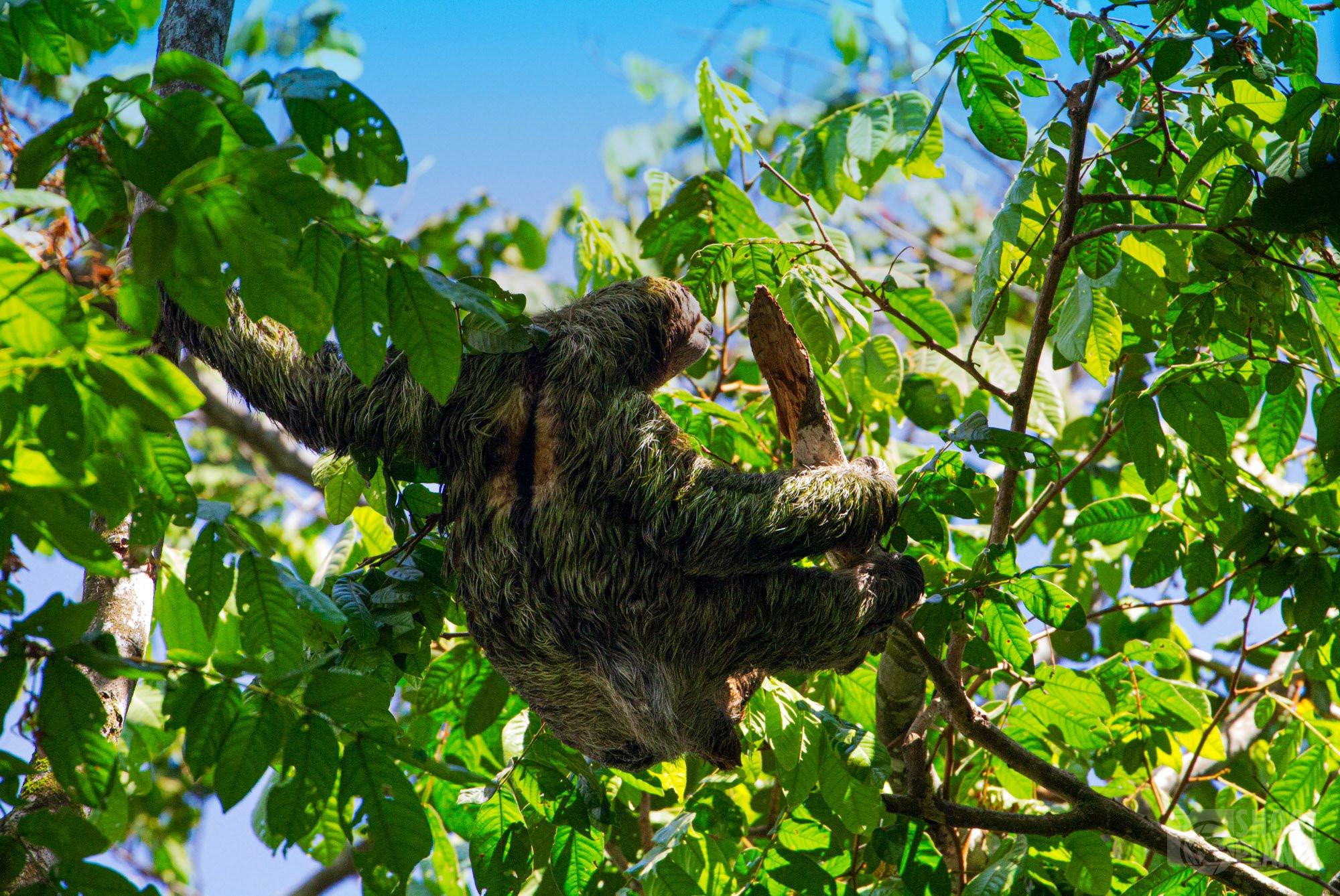 Brown-throated sloth, Manuel Antonio Park, Costa Rica