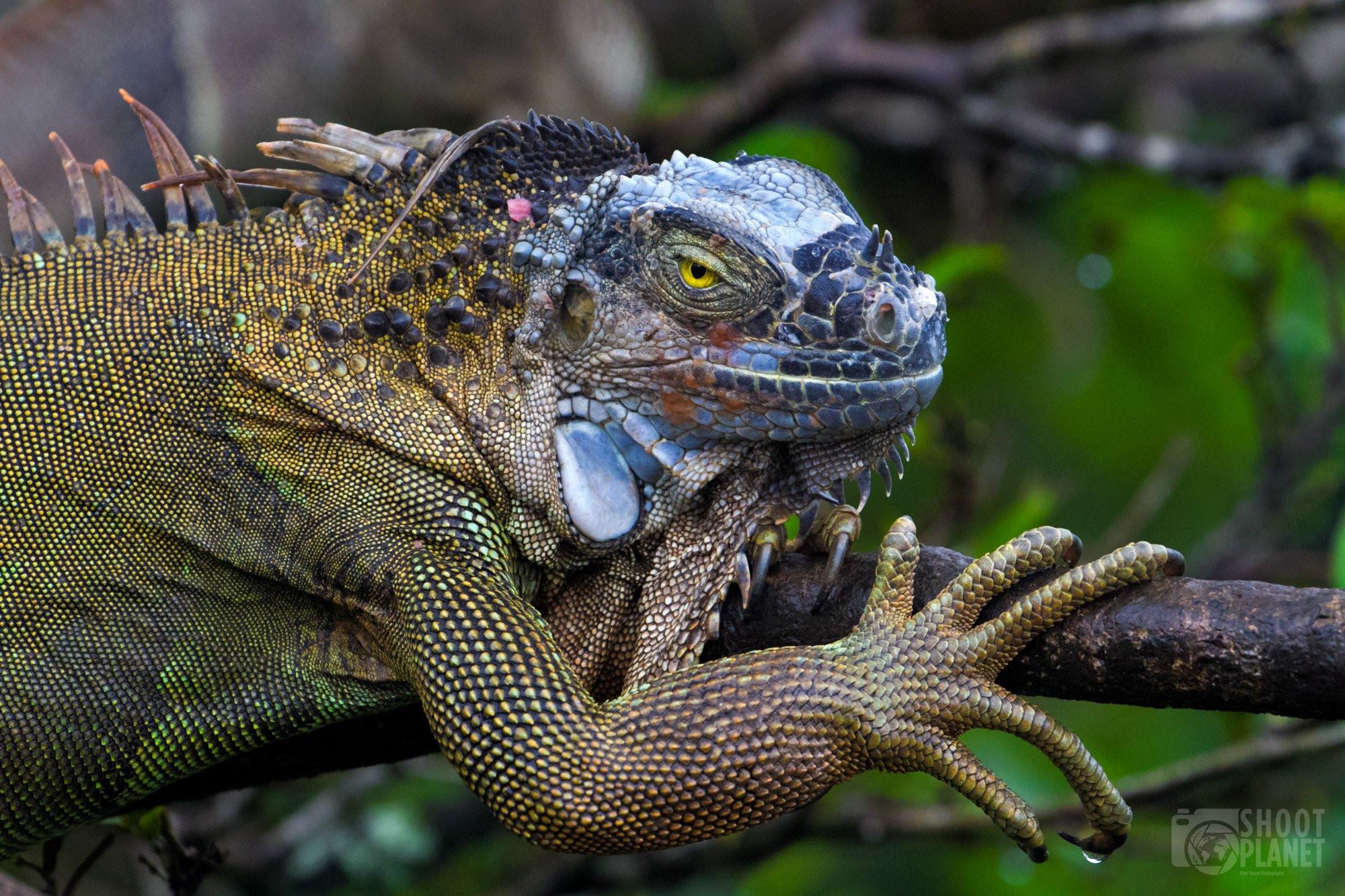 Green iguana head and claw, Costa Rica