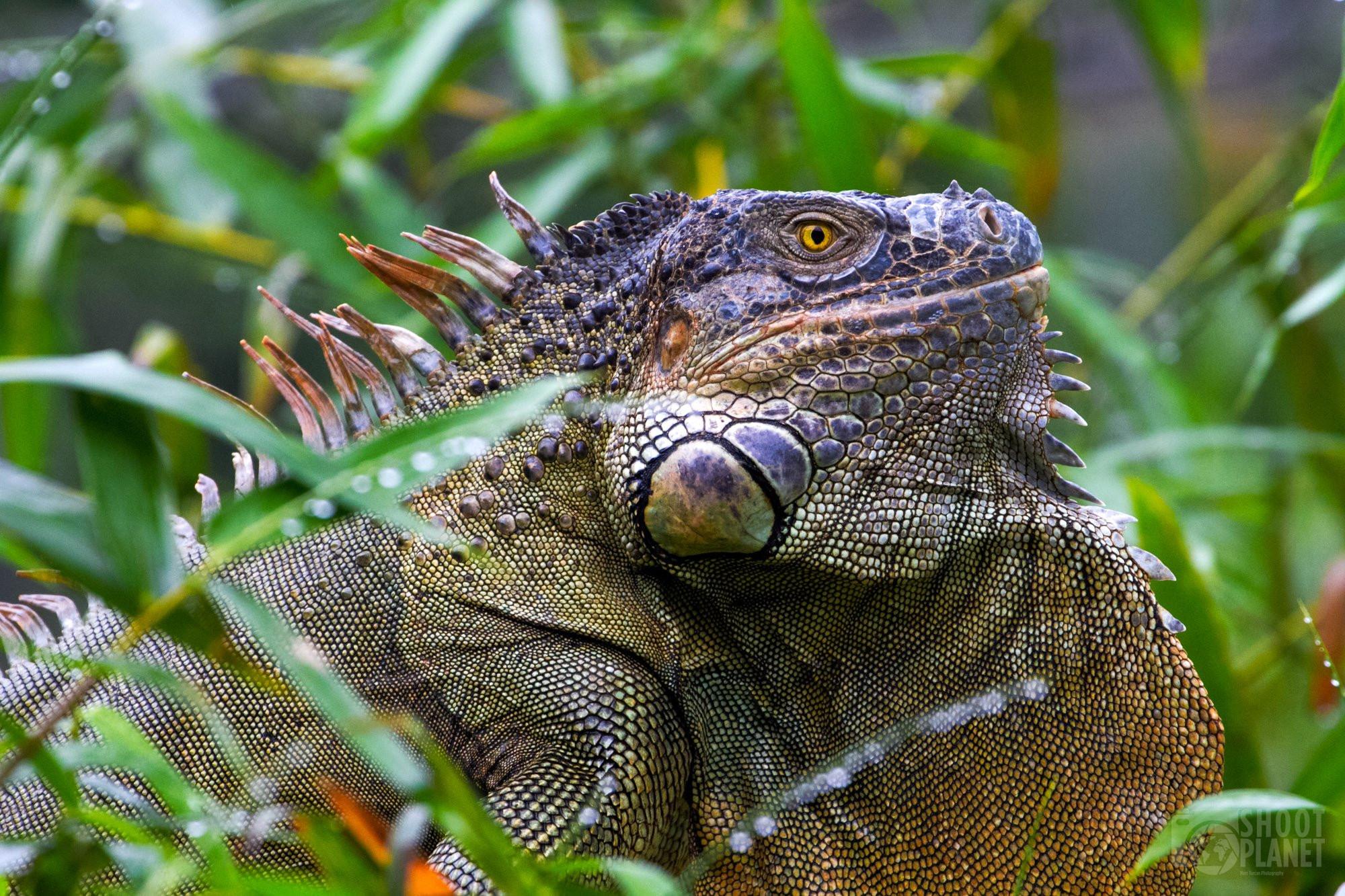 Large green iguana posing in Costa Rica