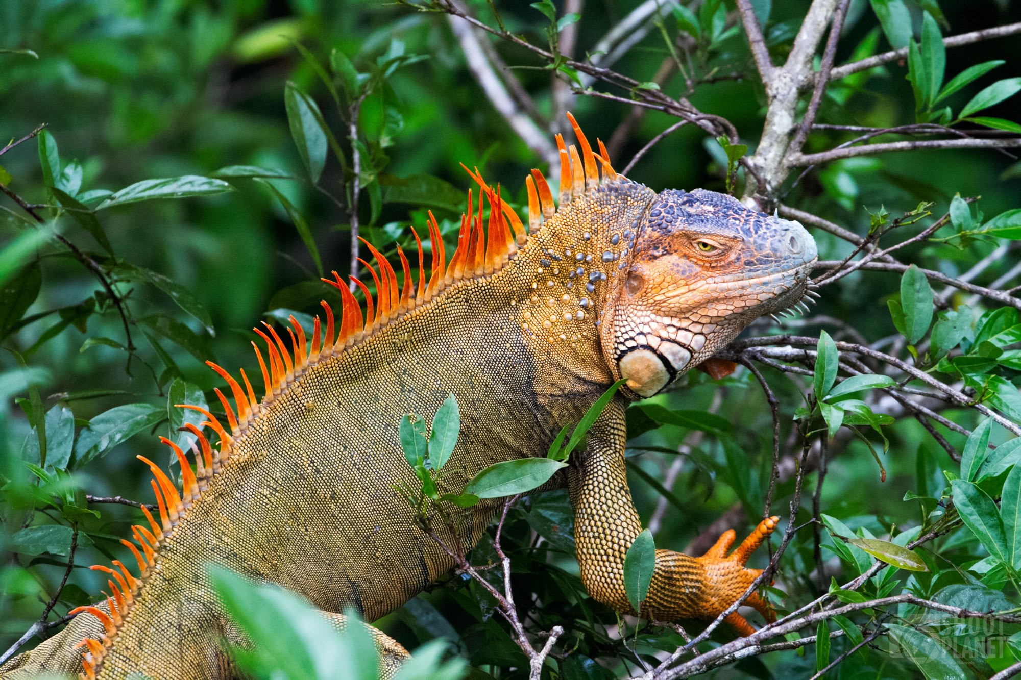 Orange-colored green iguana, Costa Rica