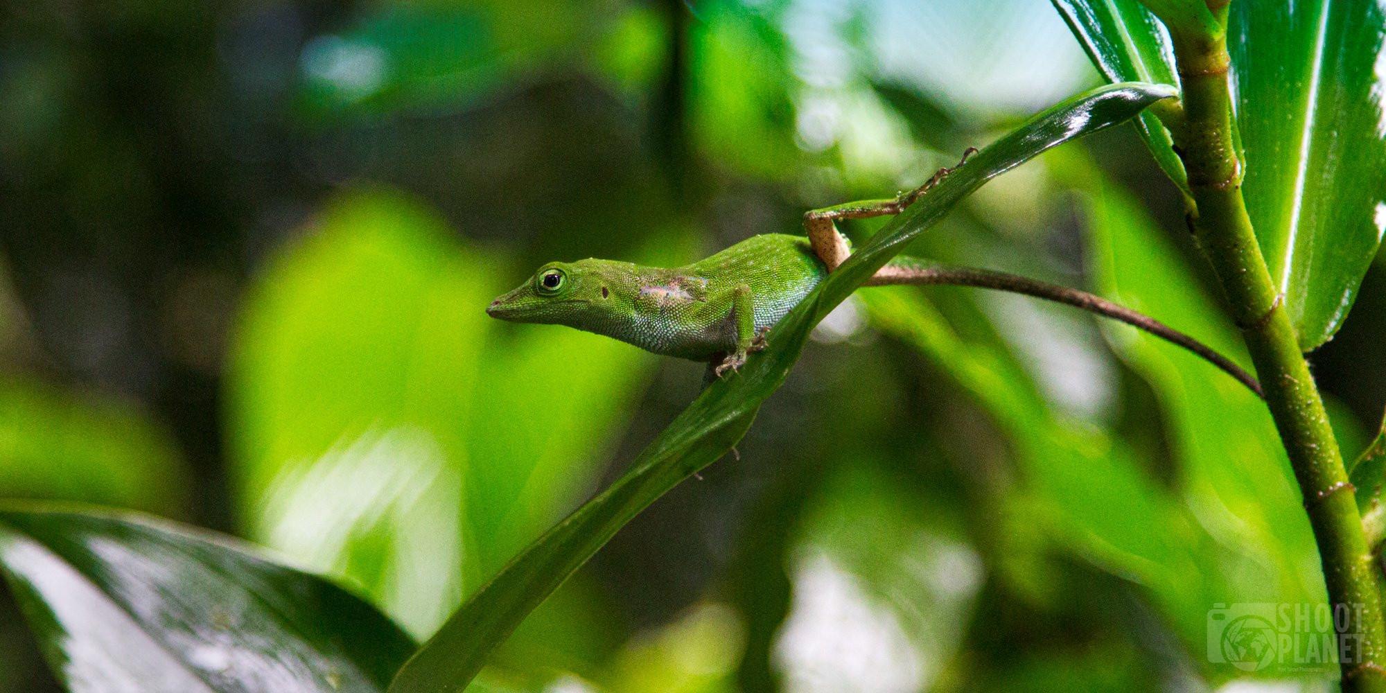 Green spiny lizard, Manuel Antonio, Costa Rica