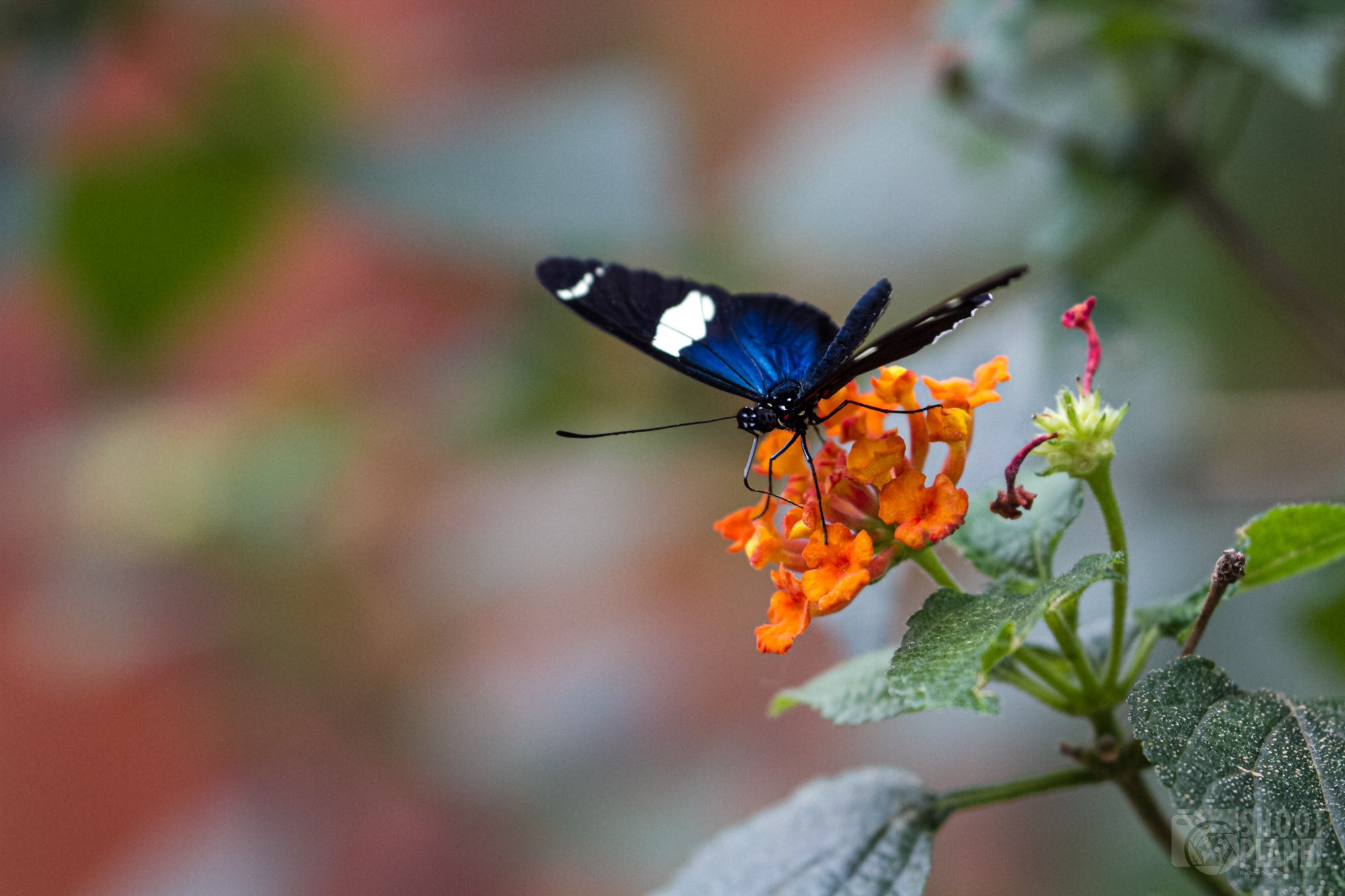 Sara longwing butterfly, Costa Rica