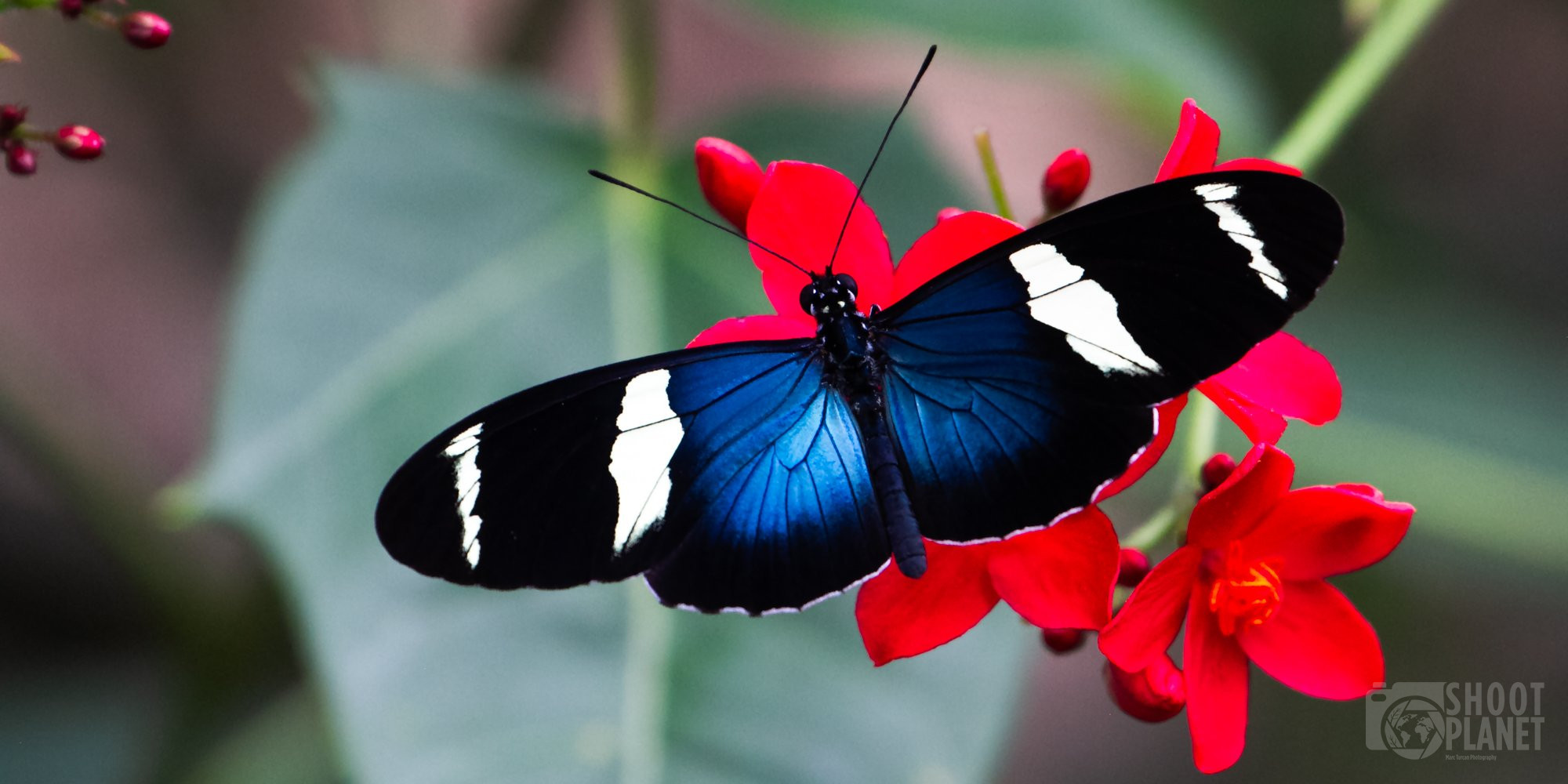 Sara longwing butterfly and flower, Costa Rica